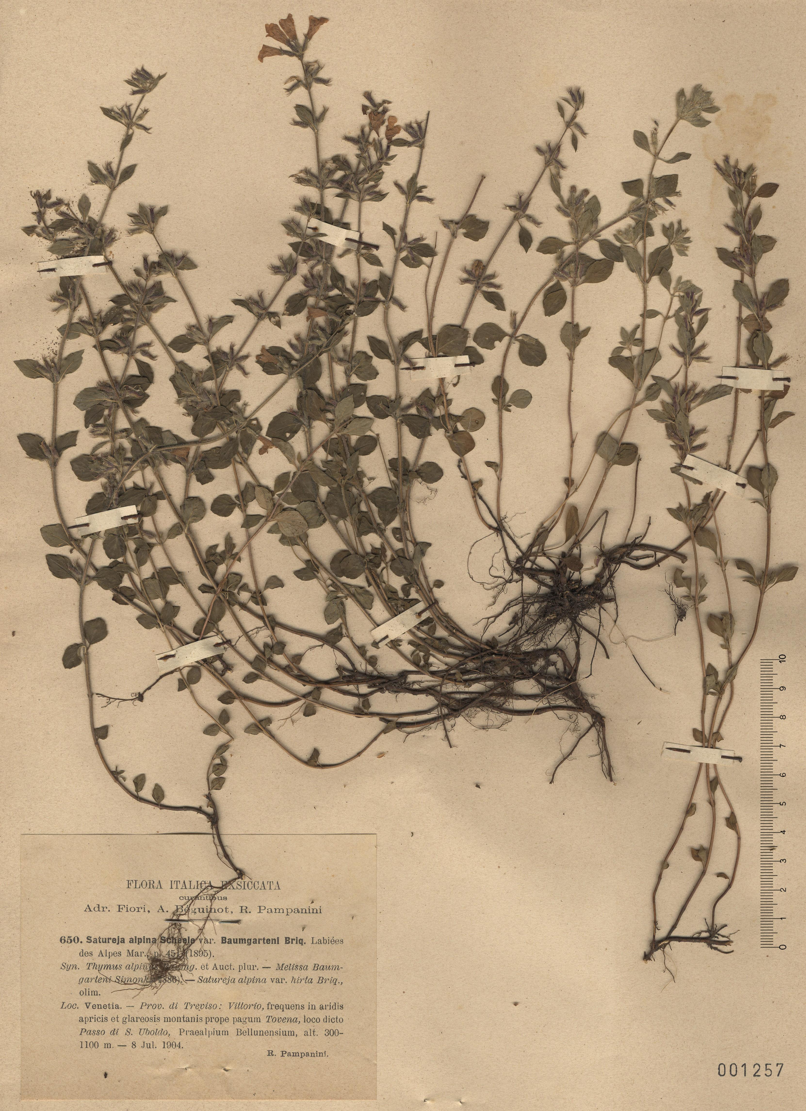 © Hortus Botanicus Catinensis - Herb. sheet 001257<br>