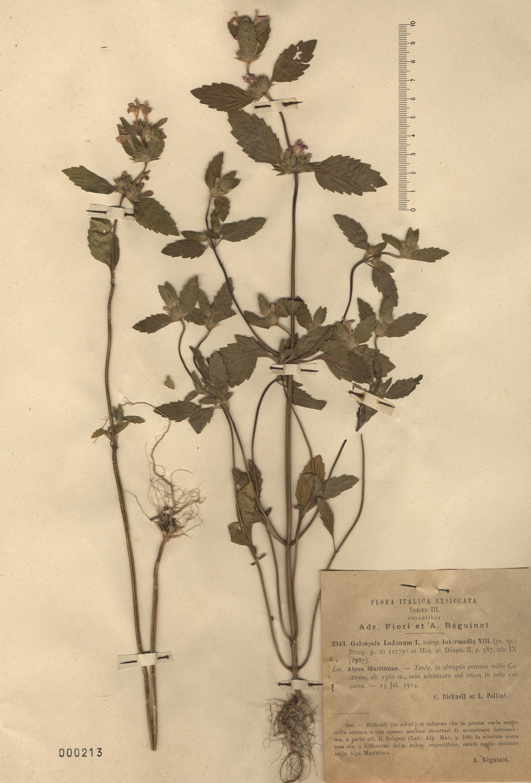 © Hortus Botanicus Catinensis - Herb. sheet 000213<br>