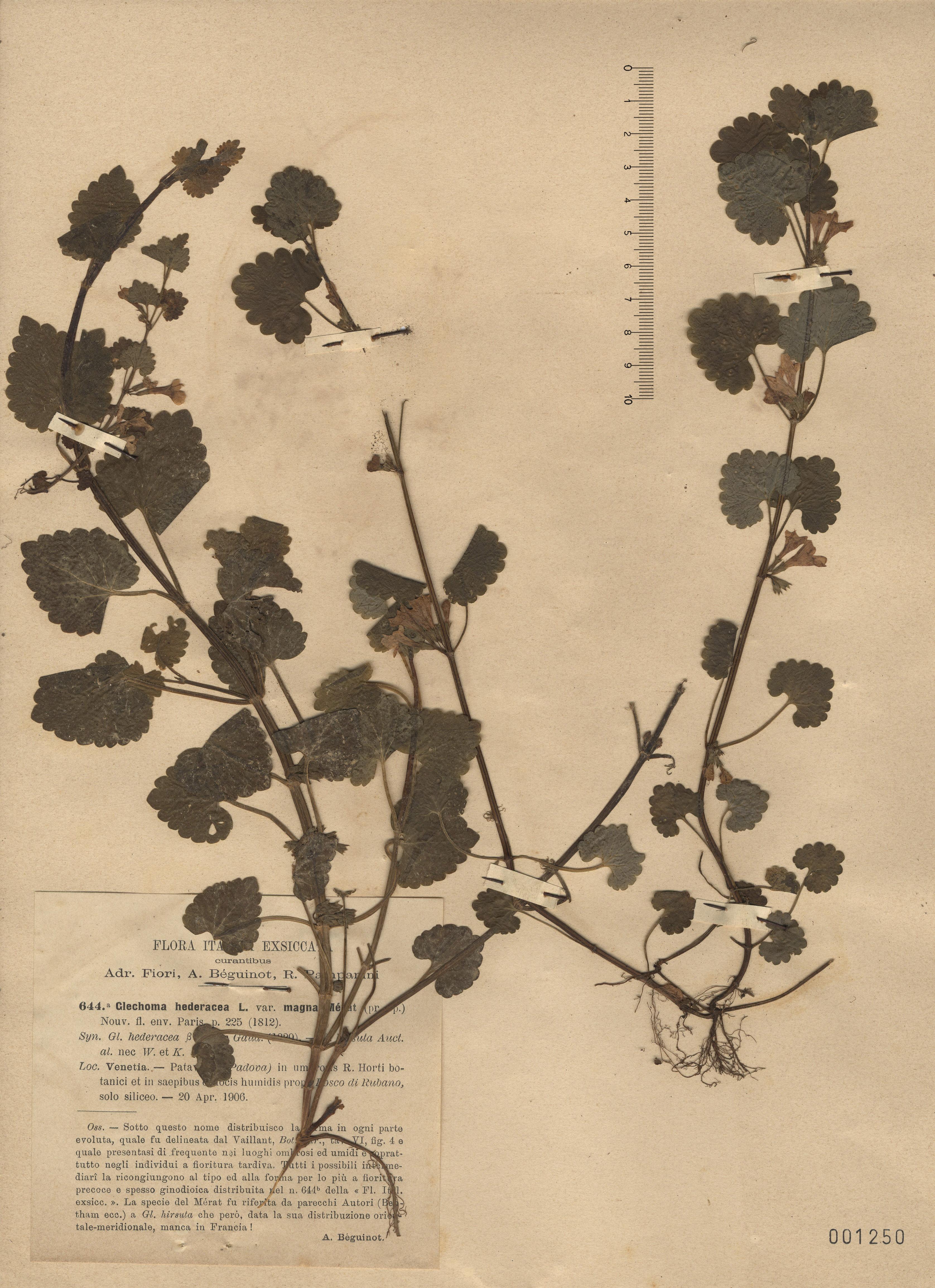© Hortus Botanicus Catinensis - Herb. sheet 001250<br>