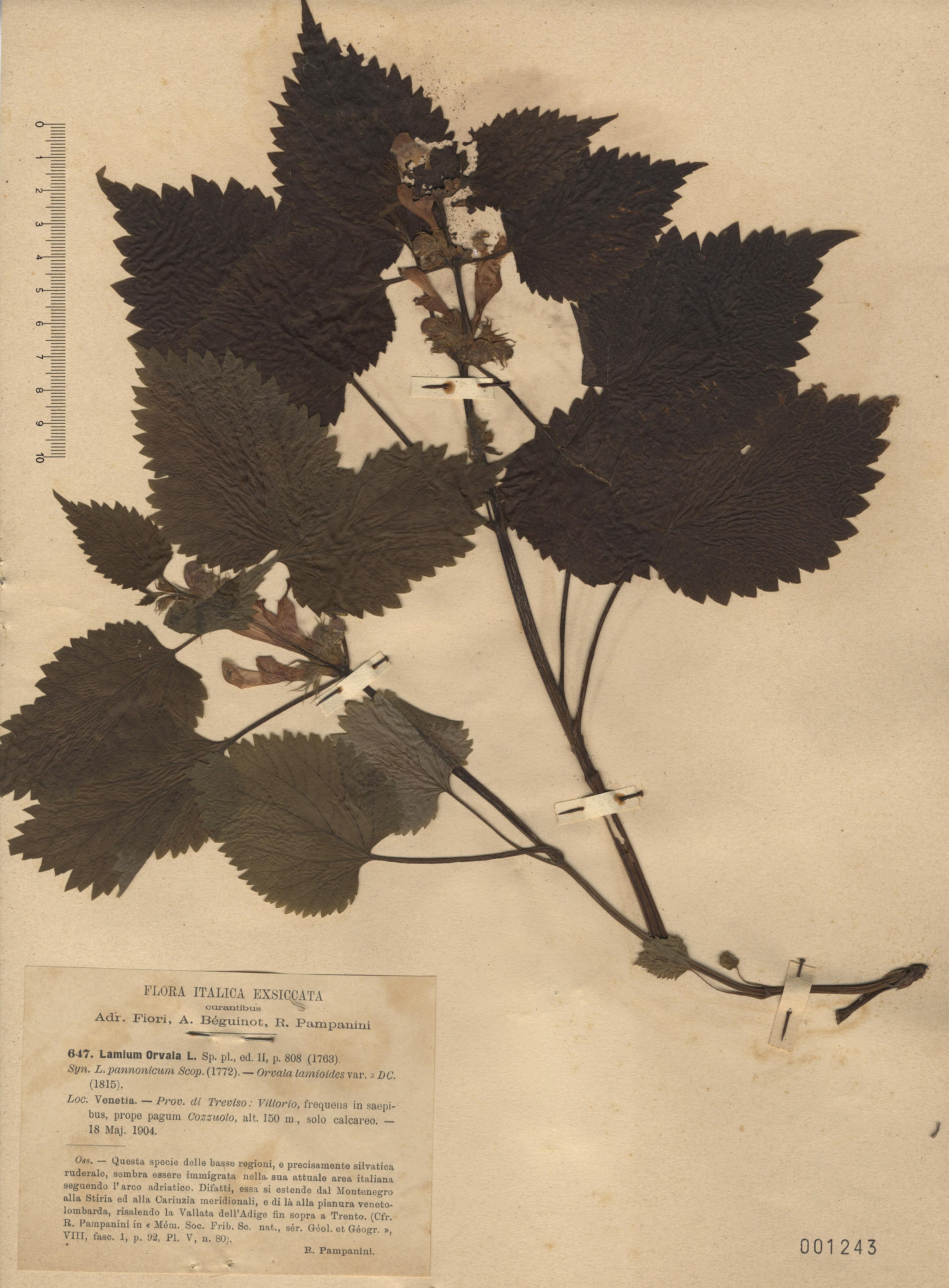 © Hortus Botanicus Catinensis - Herb. sheet 001243<br>