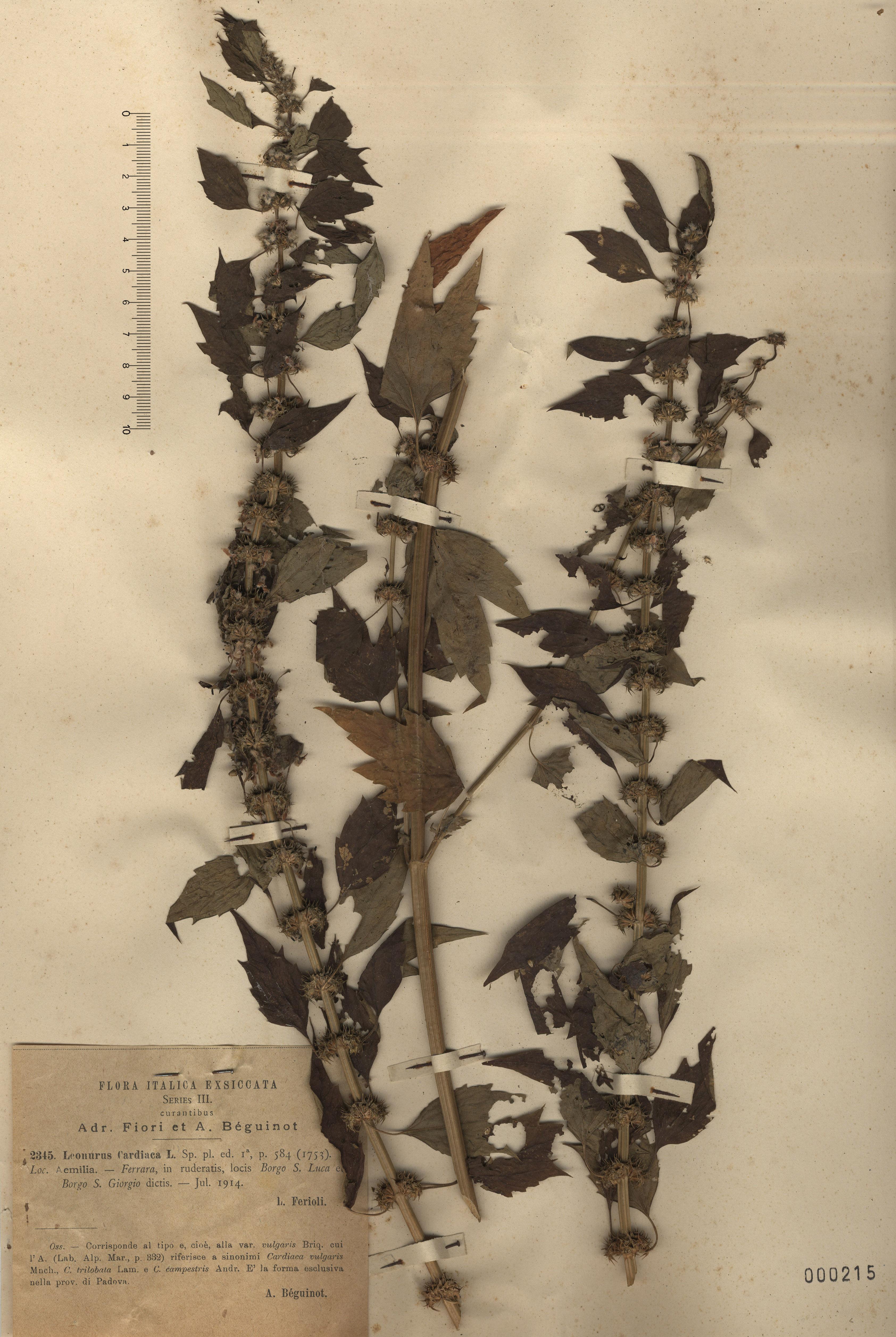 © Hortus Botanicus Catinensis - Herb. sheet 000215<br>