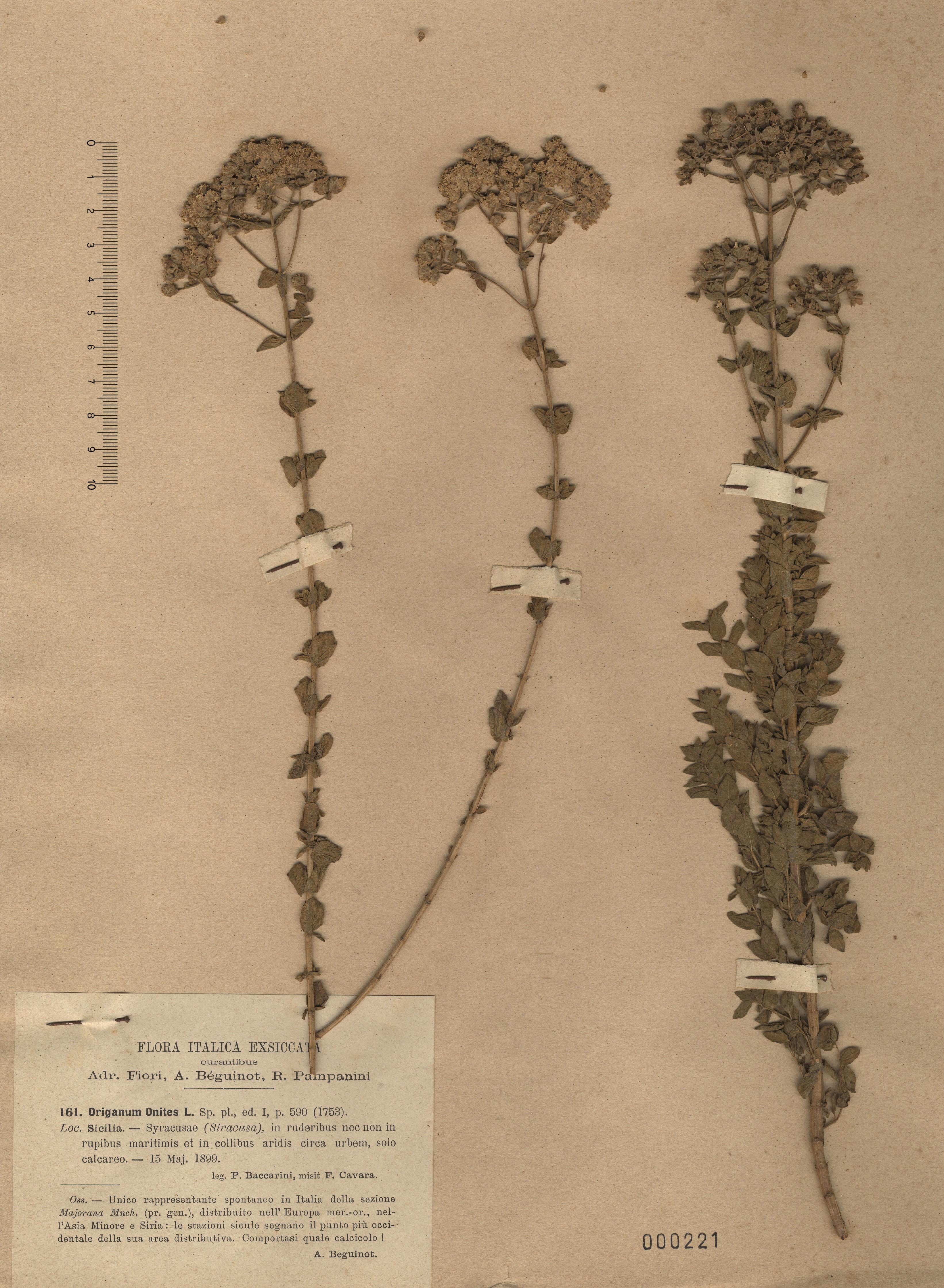 © Hortus Botanicus Catinensis - Herb. sheet 000221<br>