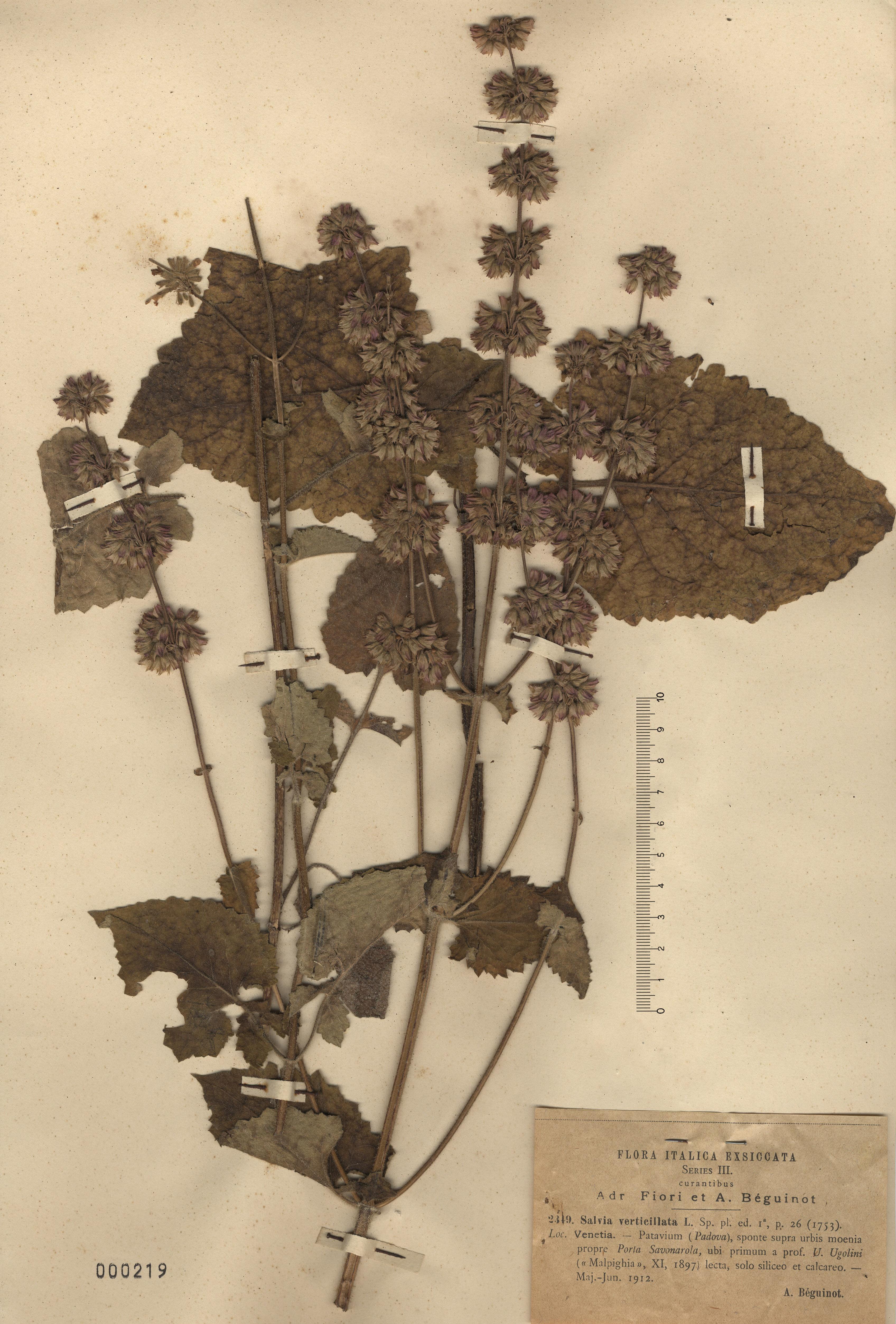 © Hortus Botanicus Catinensis - Herb. sheet 000219<br>