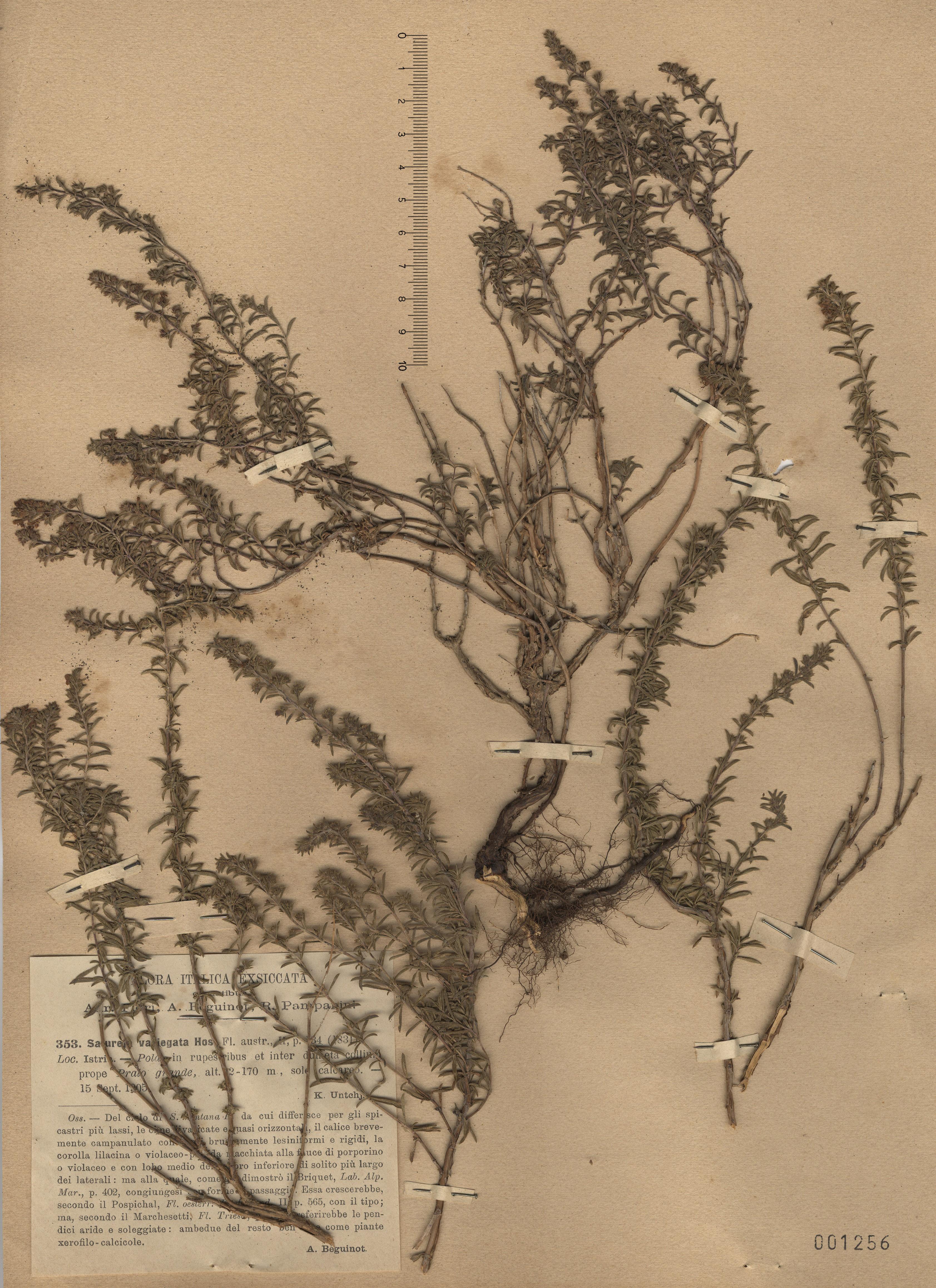 © Hortus Botanicus Catinensis - Herb. sheet 001256<br>