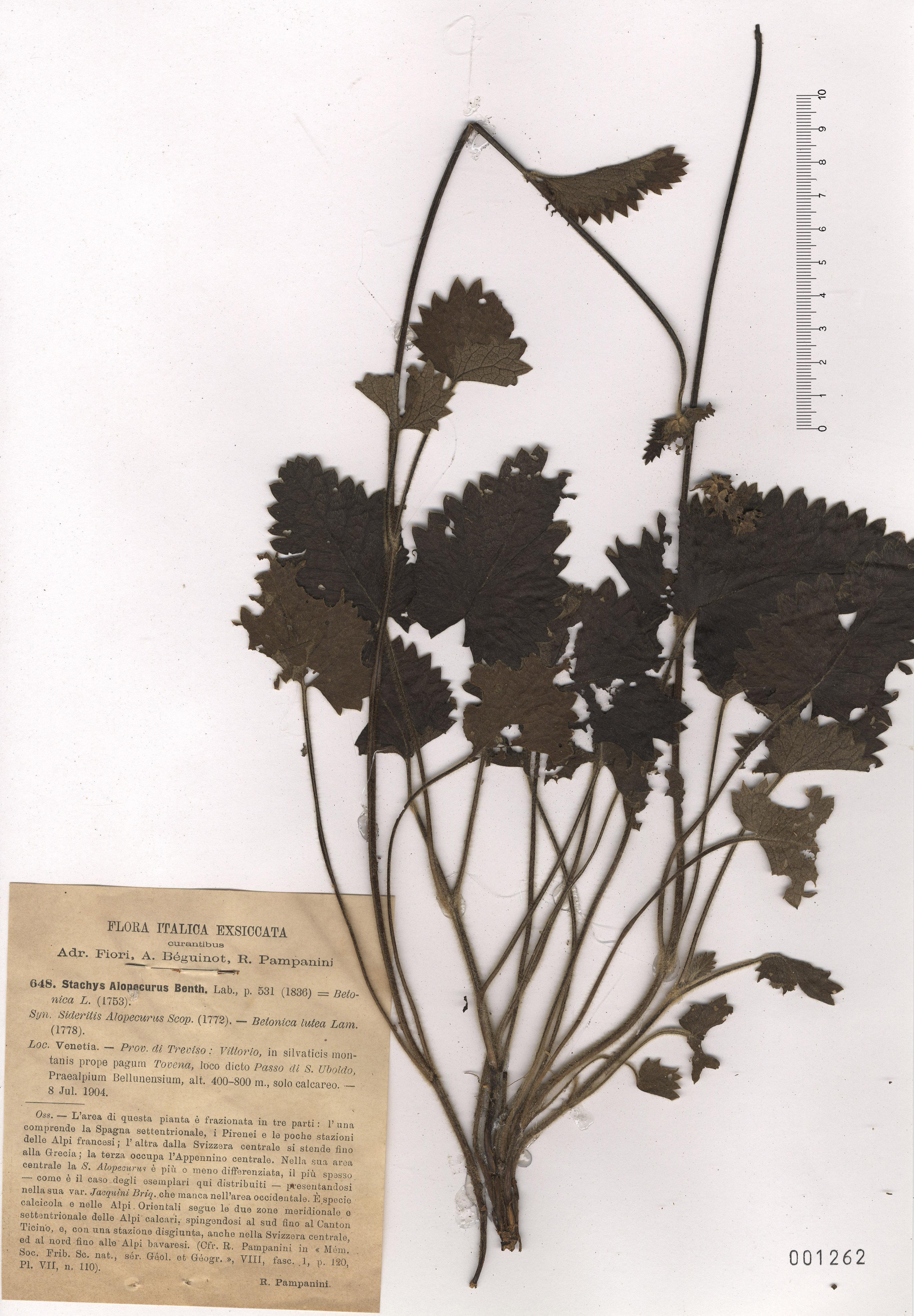 © Hortus Botanicus Catinensis - Herb. sheet 001262<br>