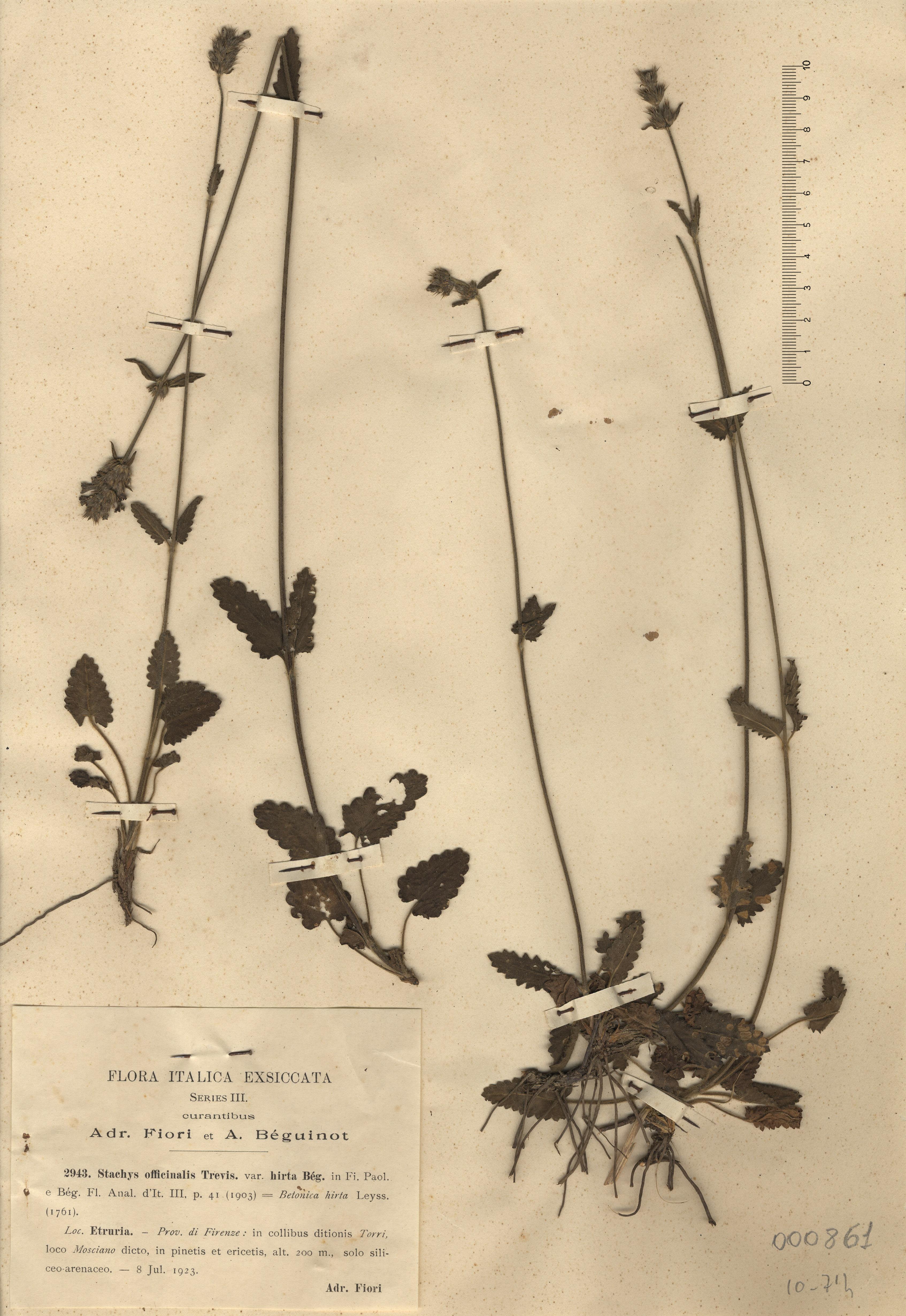 © Hortus Botanicus Catinensis - Herb. sheet 000861<br>