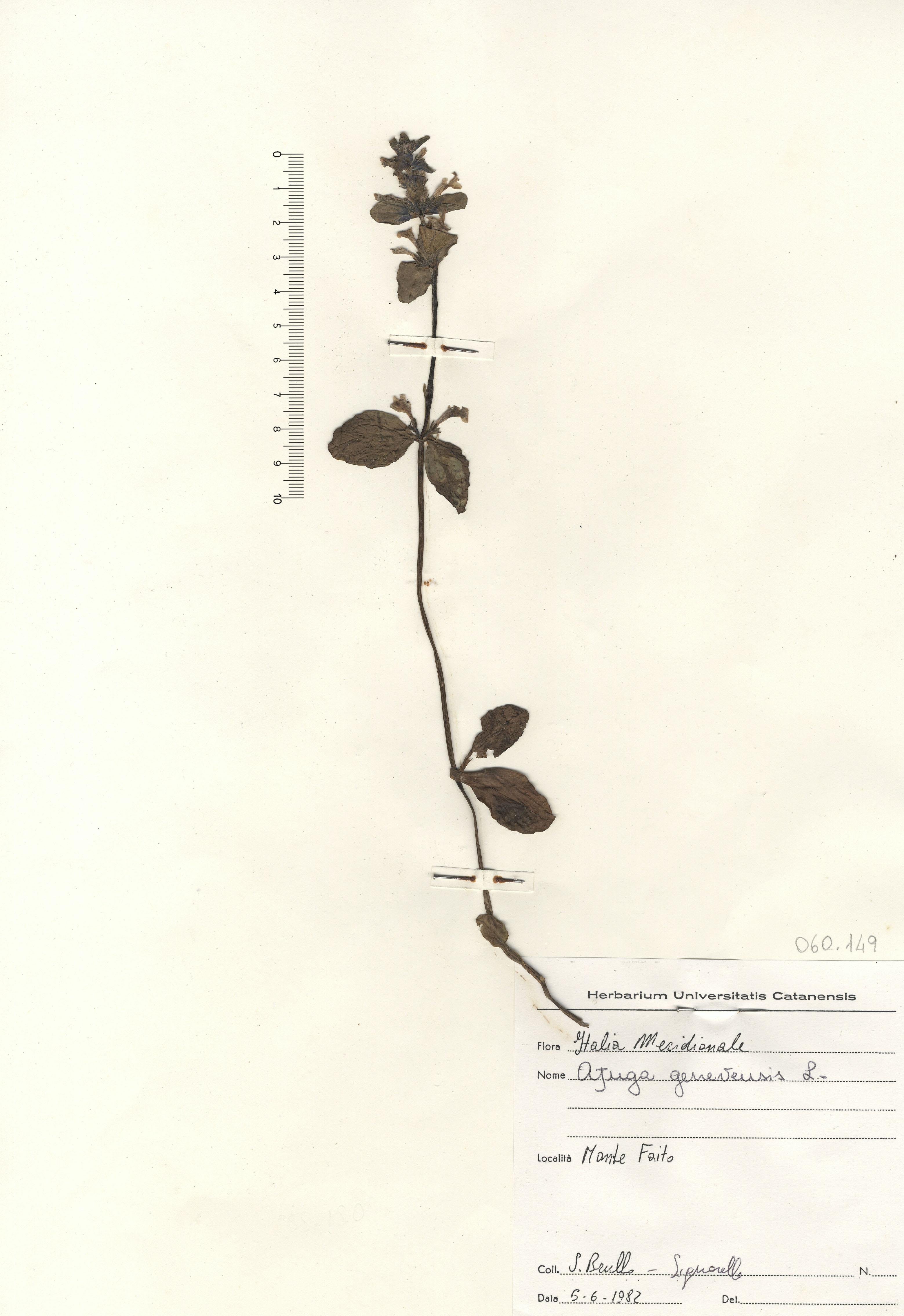 © Hortus Botanicus Catinensis - Herb. sheet 060149<br>
