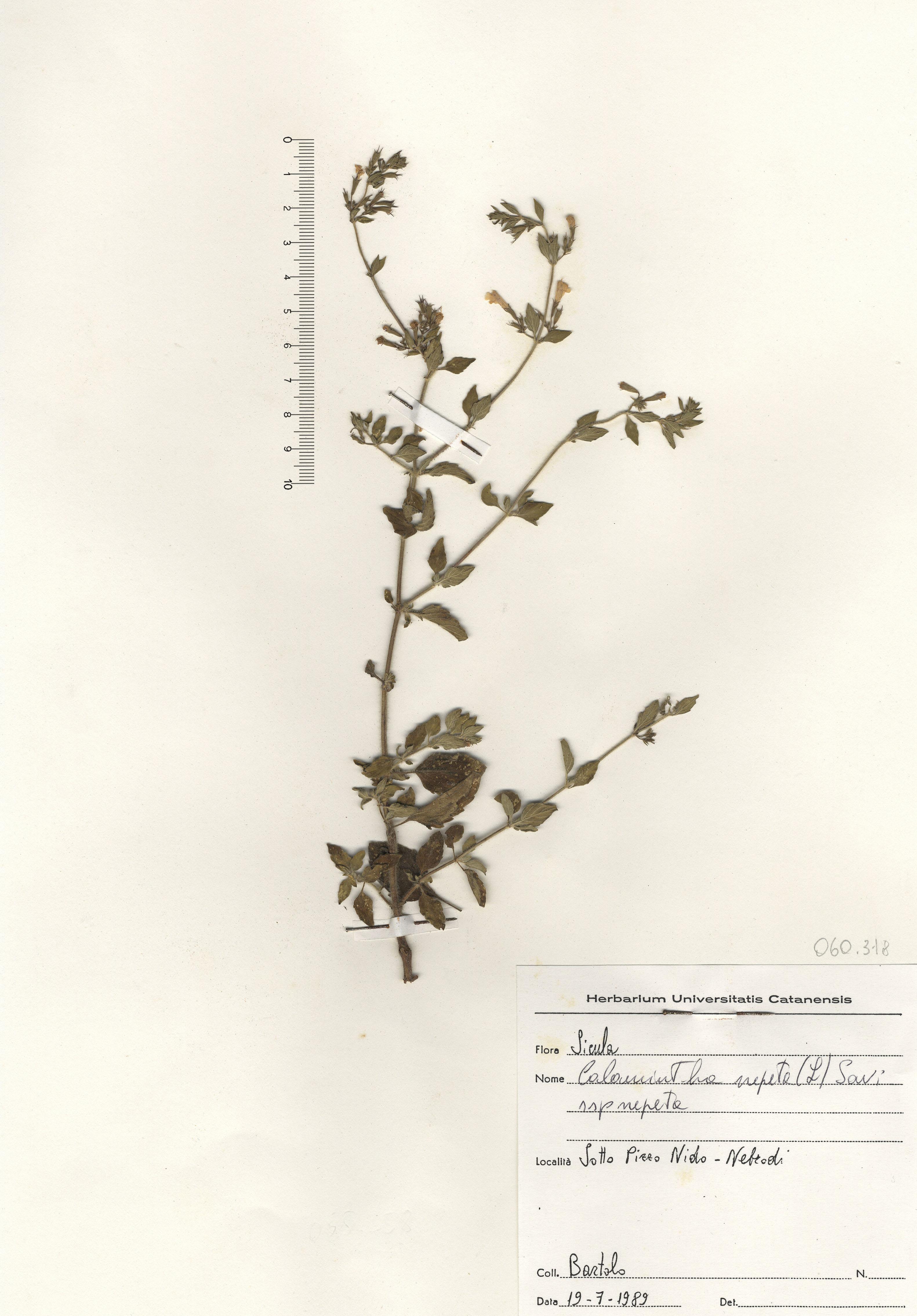 © Hortus Botanicus Catinensis - Herb. sheet 060318<br>