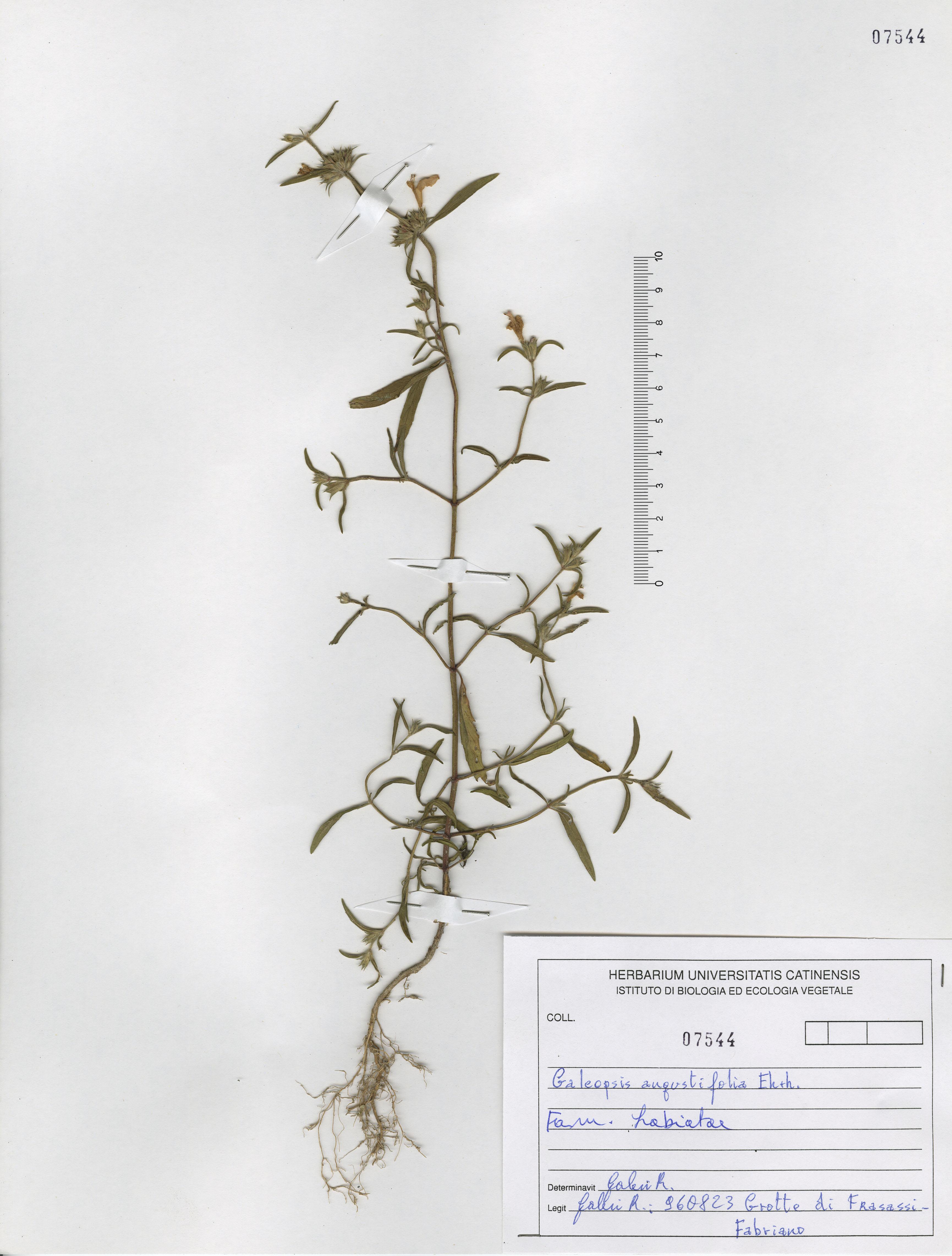 © Hortus Botanicus Catinensis - Herb. sheet 107544<br>