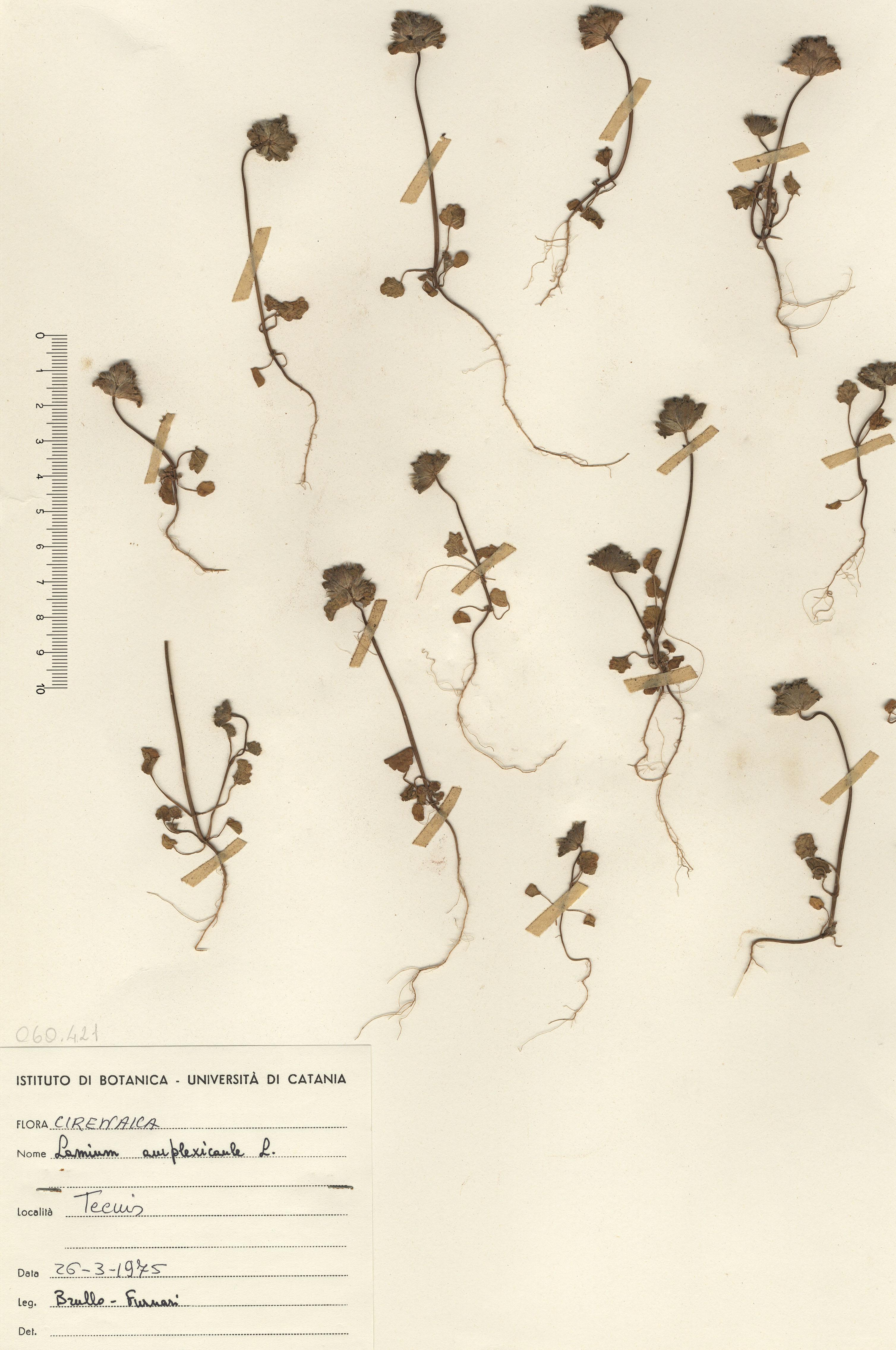 © Hortus Botanicus Catinensis - Herb. sheet 060421<br>