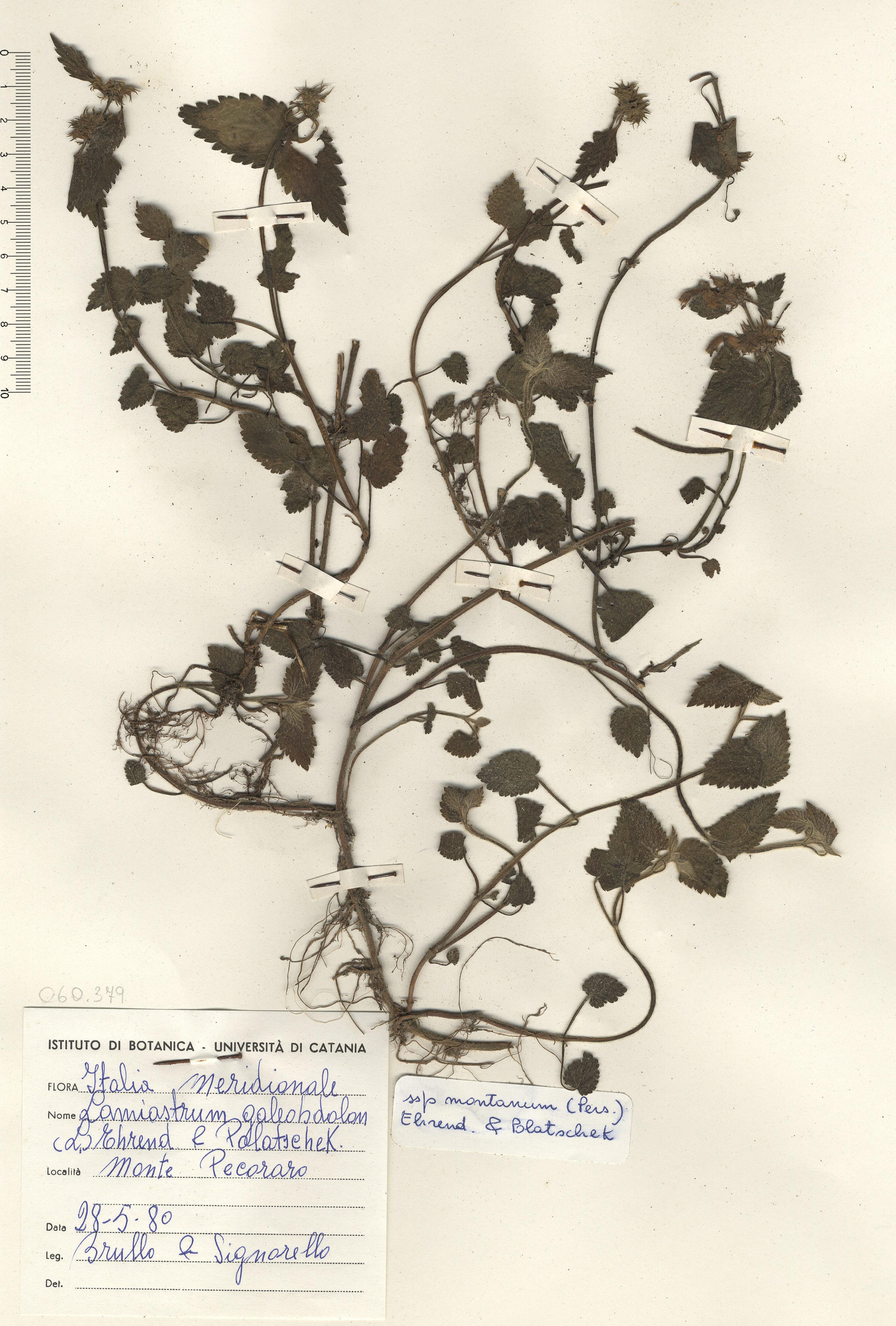 © Hortus Botanicus Catinensis - Herb. sheet 060379<br>