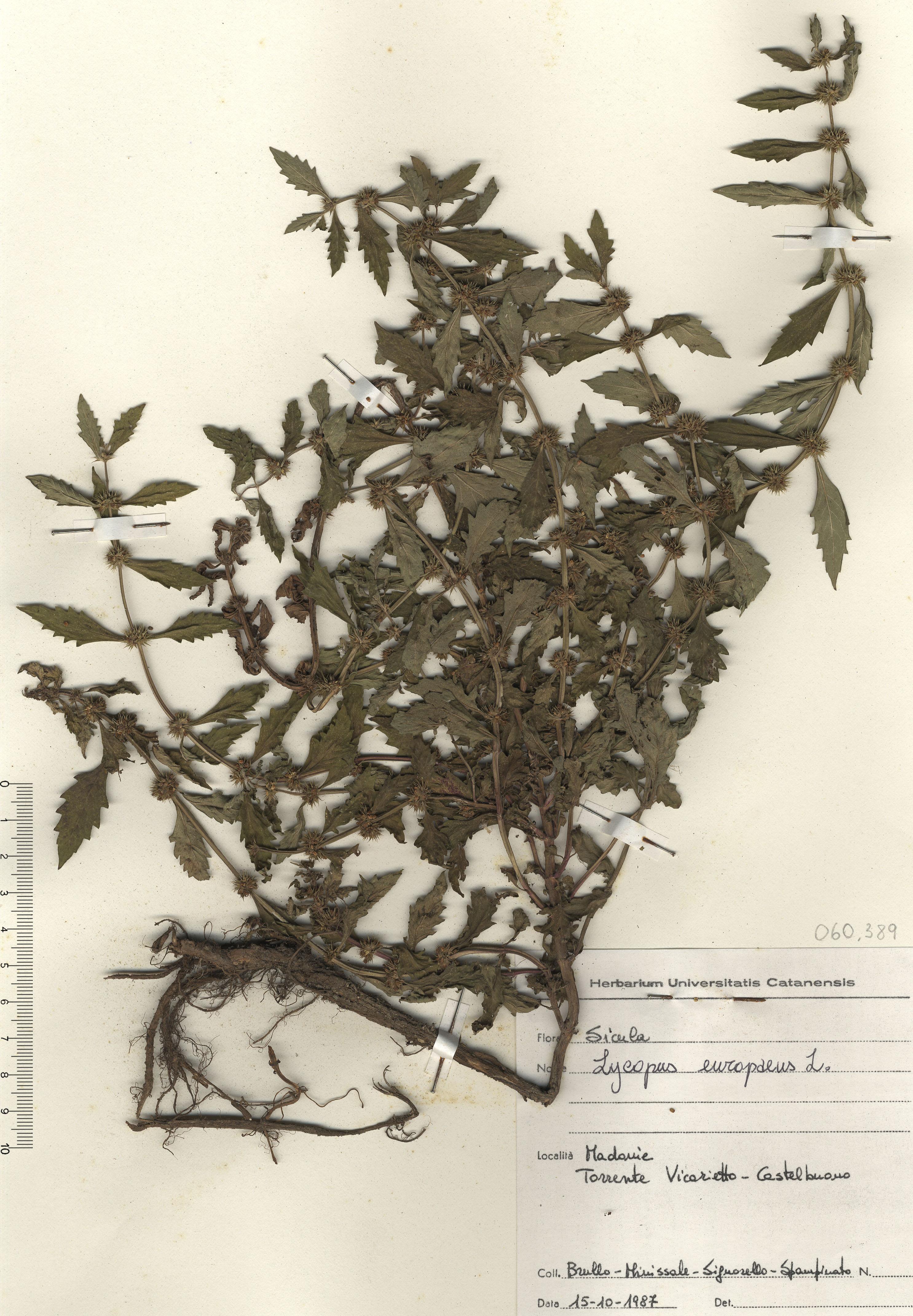 © Hortus Botanicus Catinensis - Herb. sheet 060389<br>