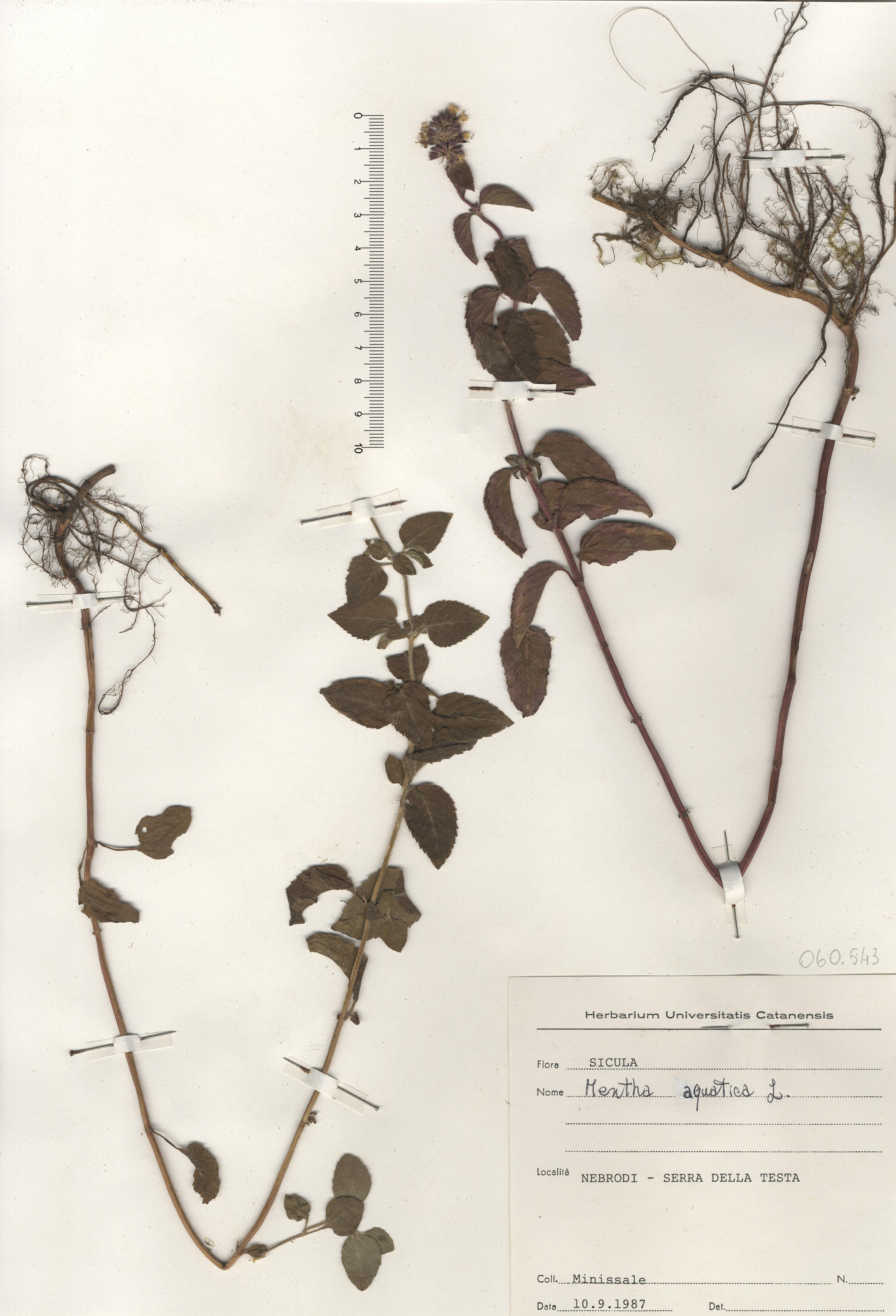 © Hortus Botanicus Catinensis - Herb. sheet 060543<br>