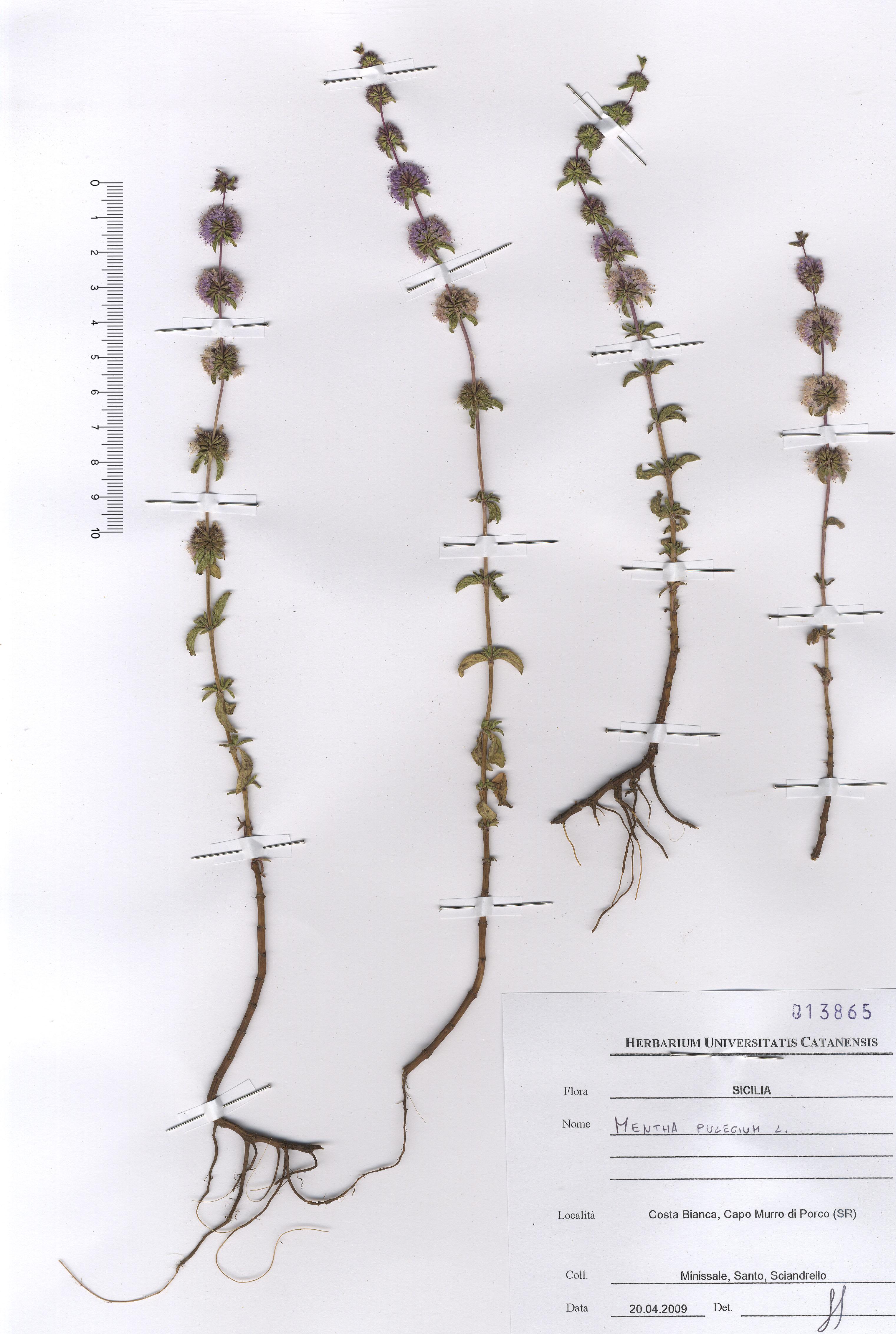 © Hortus Botanicus Catinensis - Herb. sheet 013865<br>
