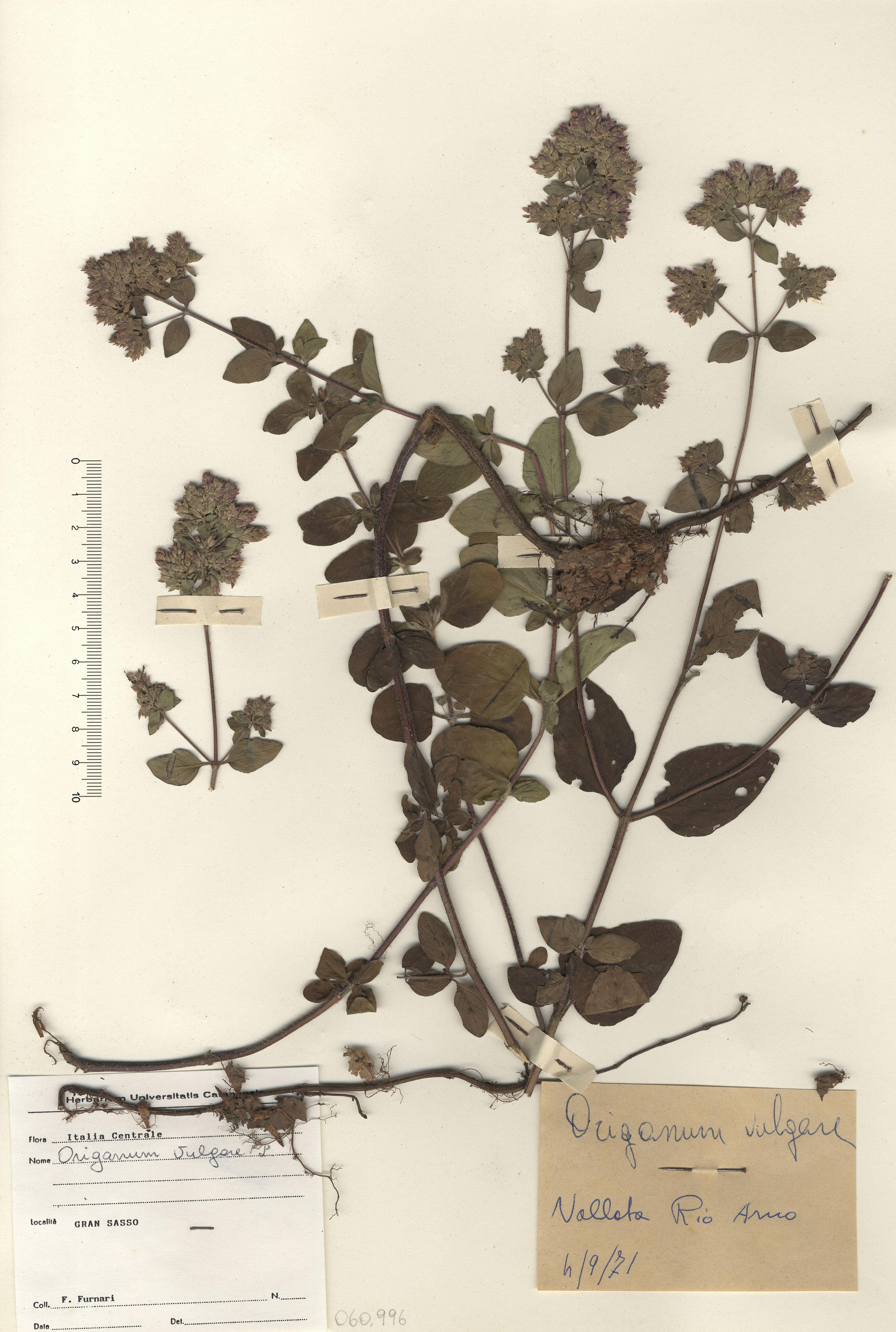 © Hortus Botanicus Catinensis - Herb. sheet 060996<br>