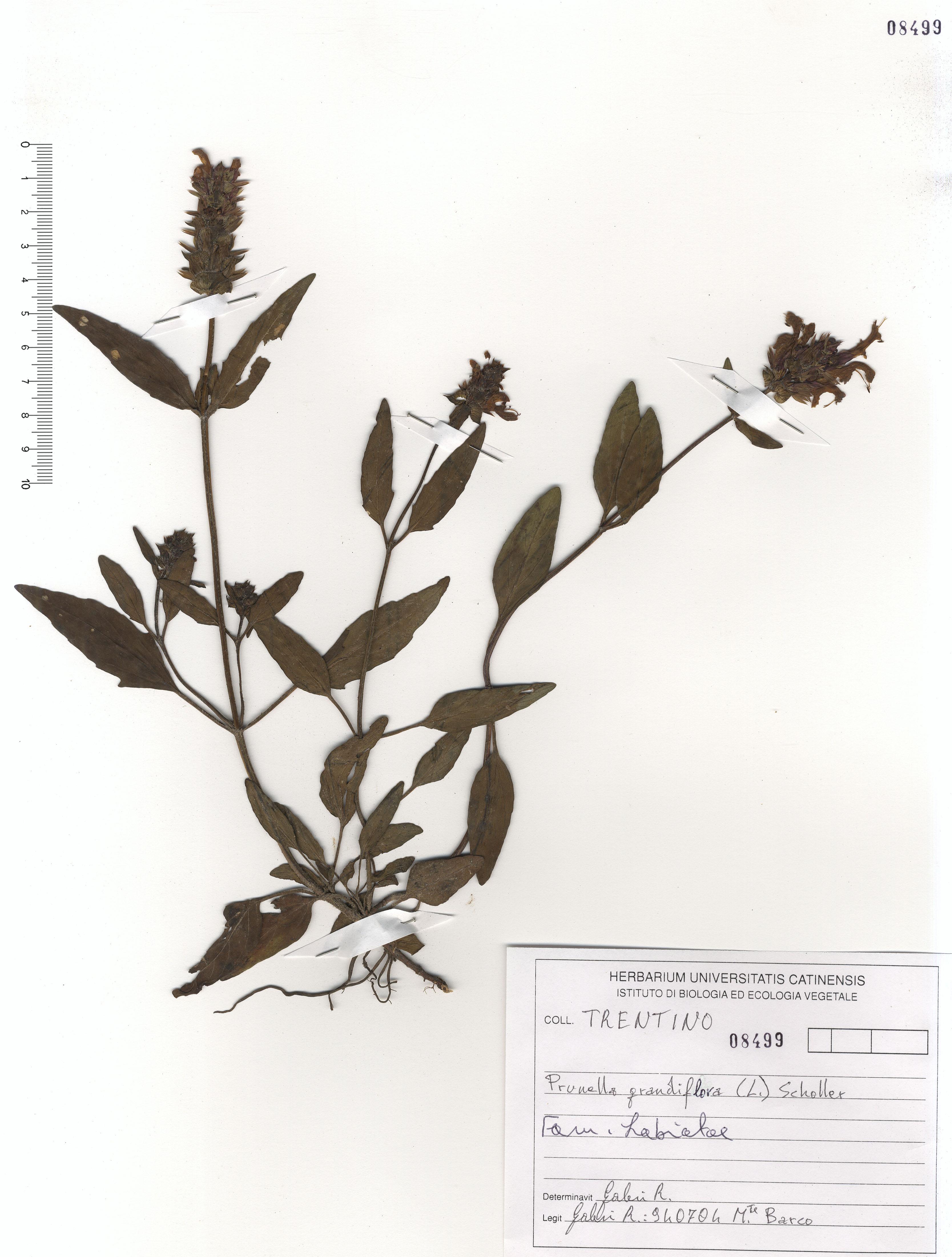 © Hortus Botanicus Catinensis - Herb. sheet 108499<br>