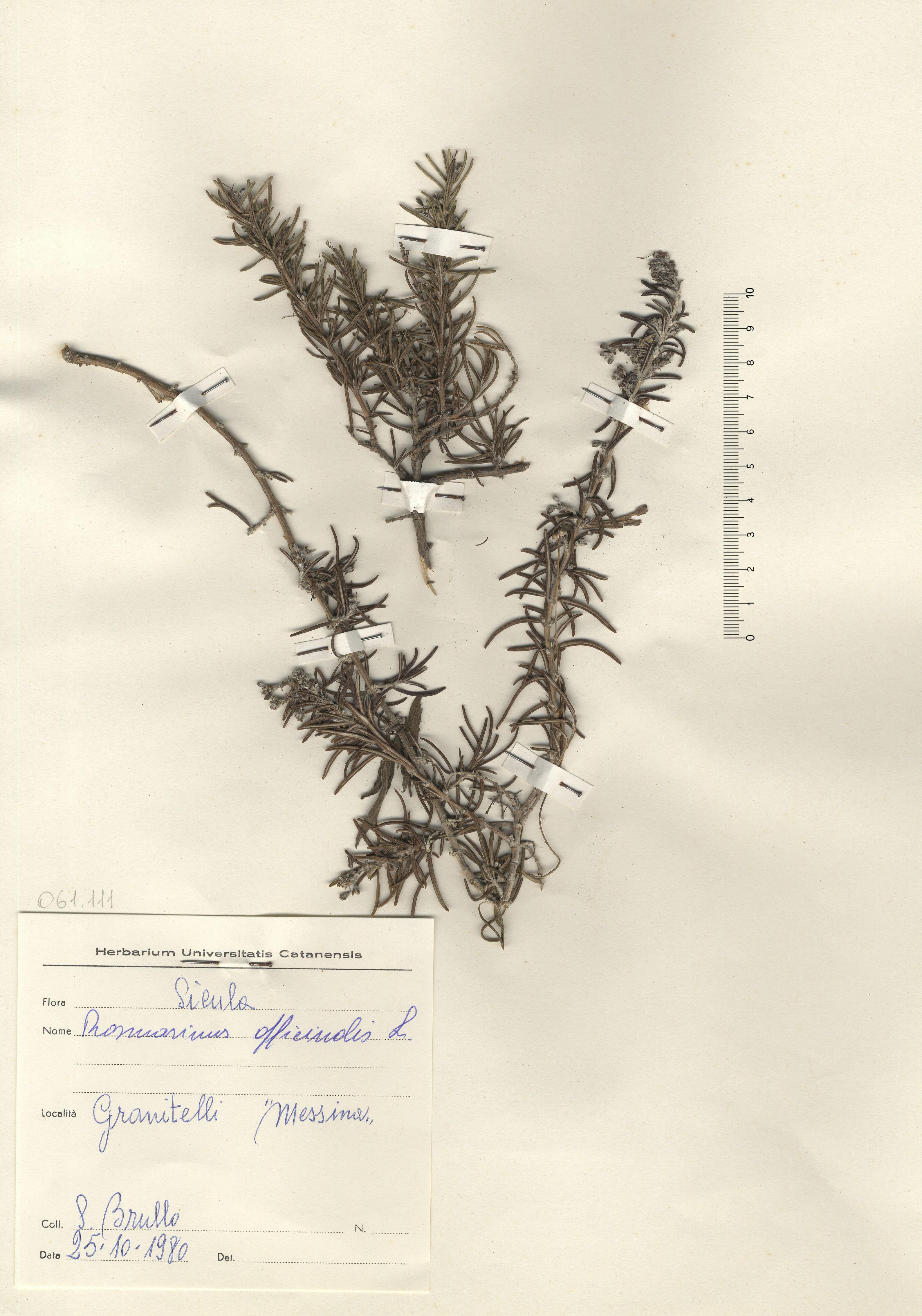 © Hortus Botanicus Catinensis - Herb. sheet 061111<br>