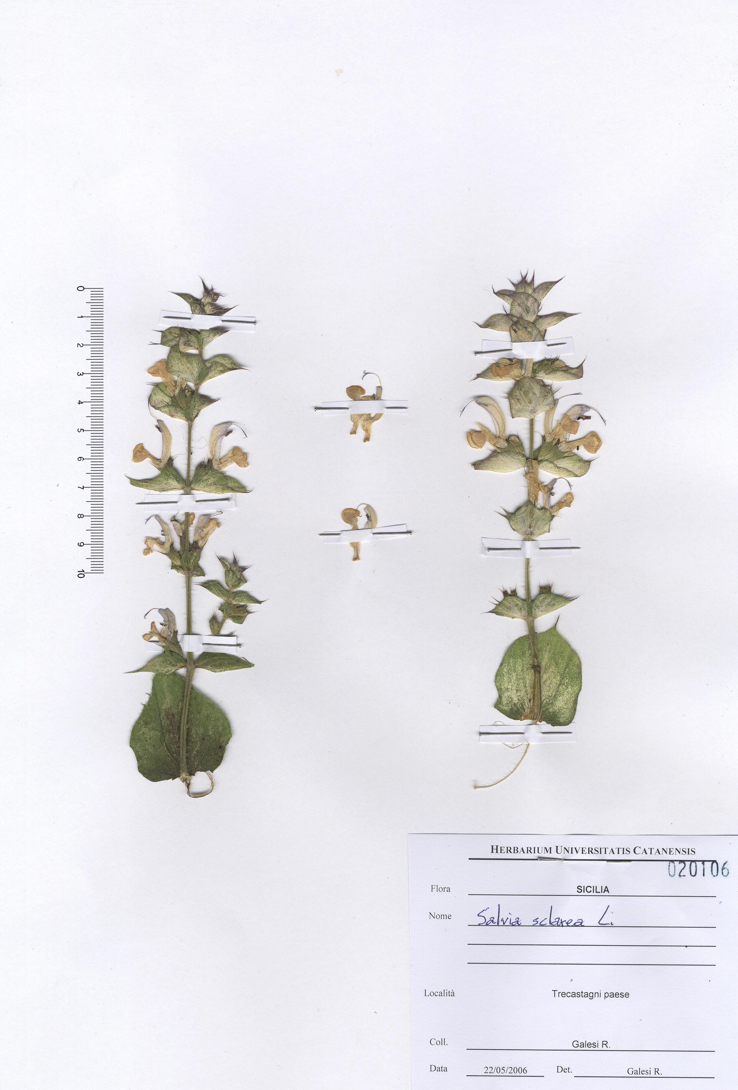 © Hortus Botanicus Catinensis - Herb. sheet 020106<br>