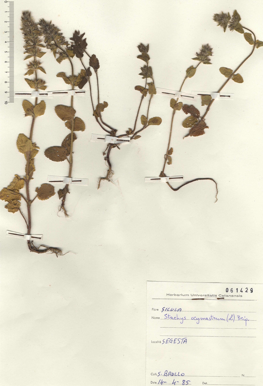 © Hortus Botanicus Catinensis - Herb. sheet 061429<br>