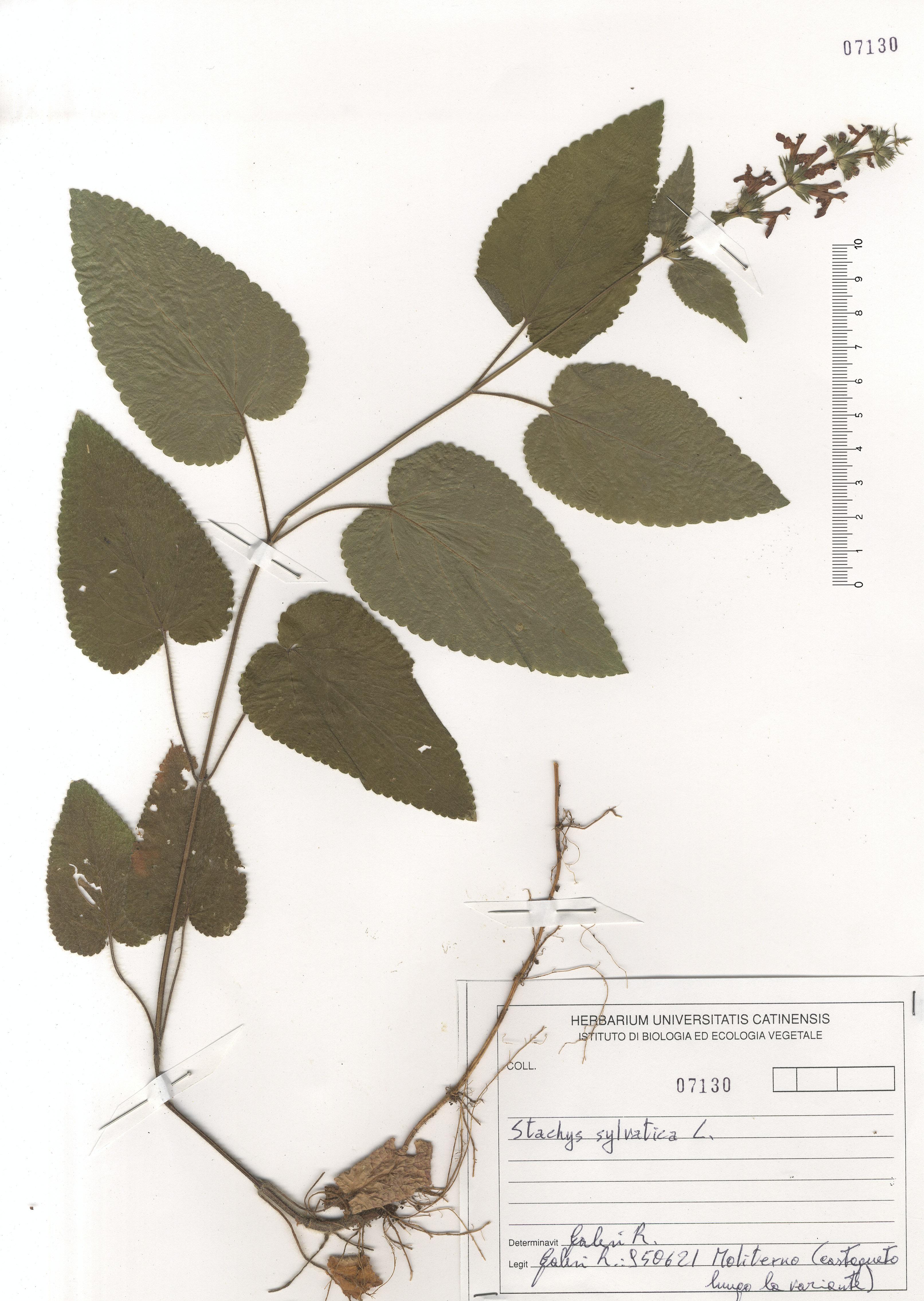 © Hortus Botanicus Catinensis - Herb. sheet 107130<br>
