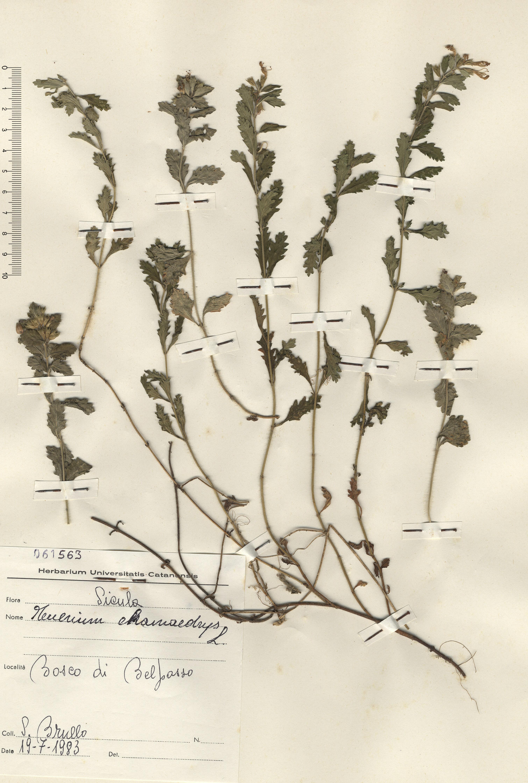 © Hortus Botanicus Catinensis - Herb. sheet 061563<br>