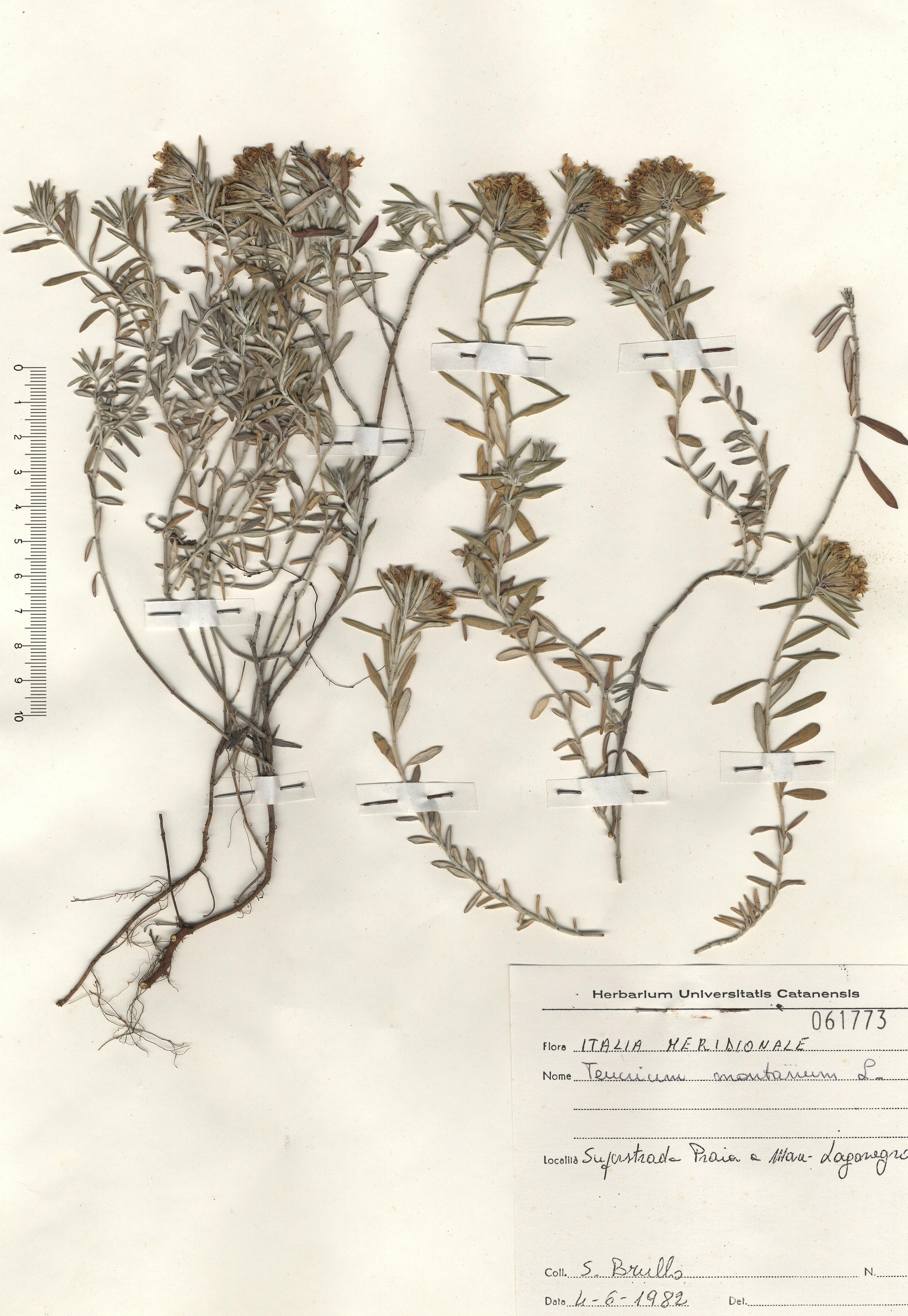 © Hortus Botanicus Catinensis - Herb. sheet 061773<br>