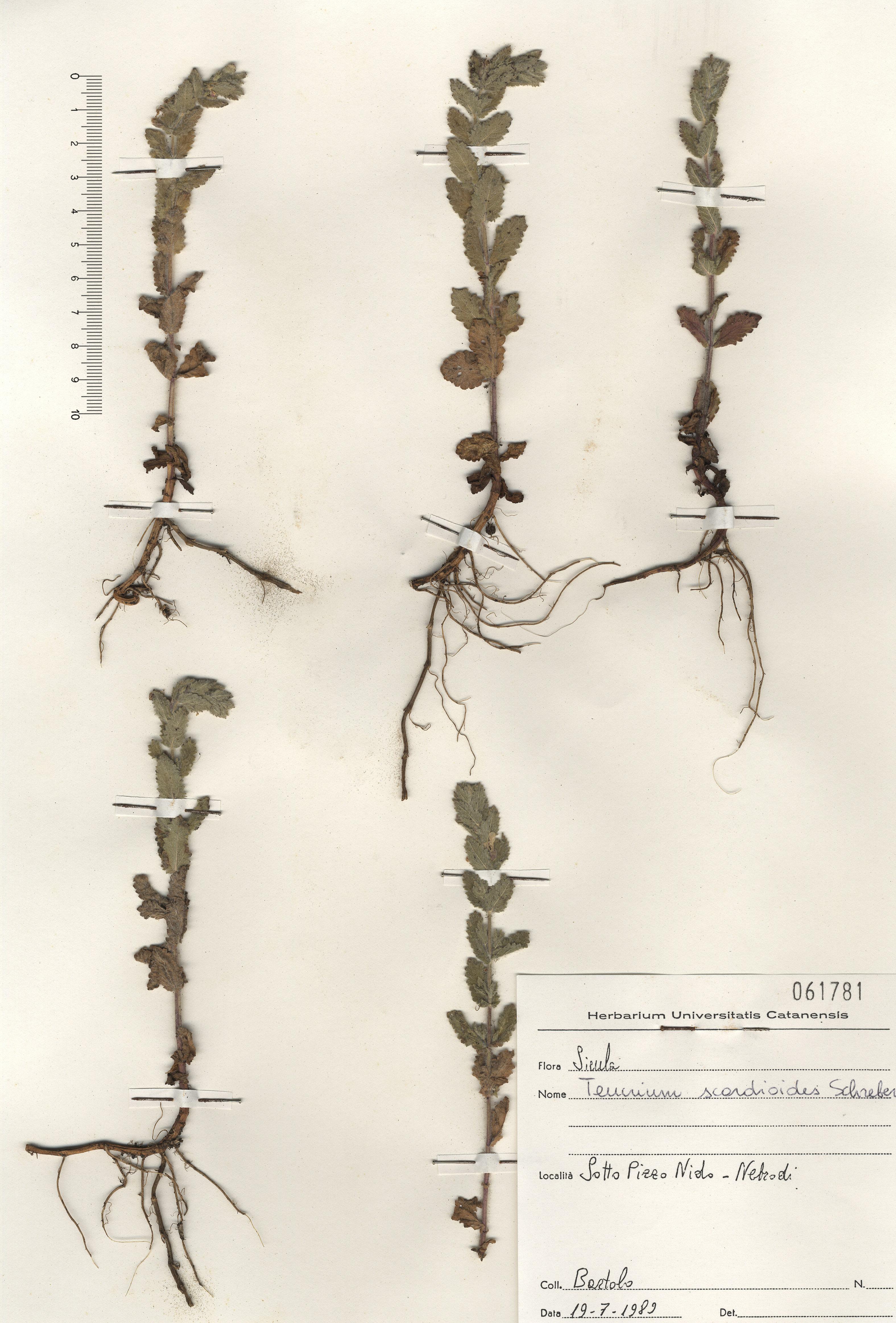 © Hortus Botanicus Catinensis - Herb. sheet  061781<br>