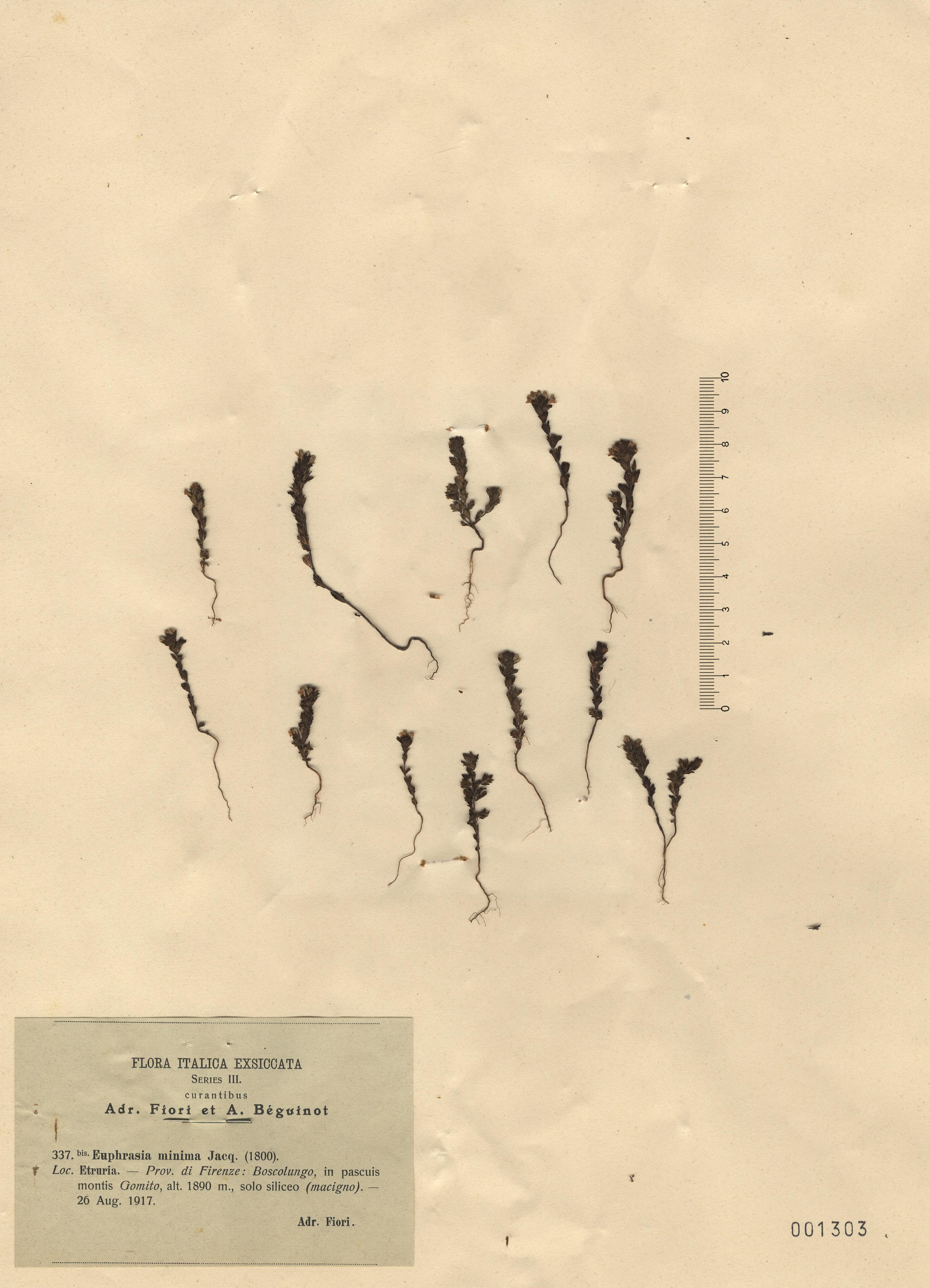 © Hortus Botanicus Catinensis - Herb. sheet 001303<br>