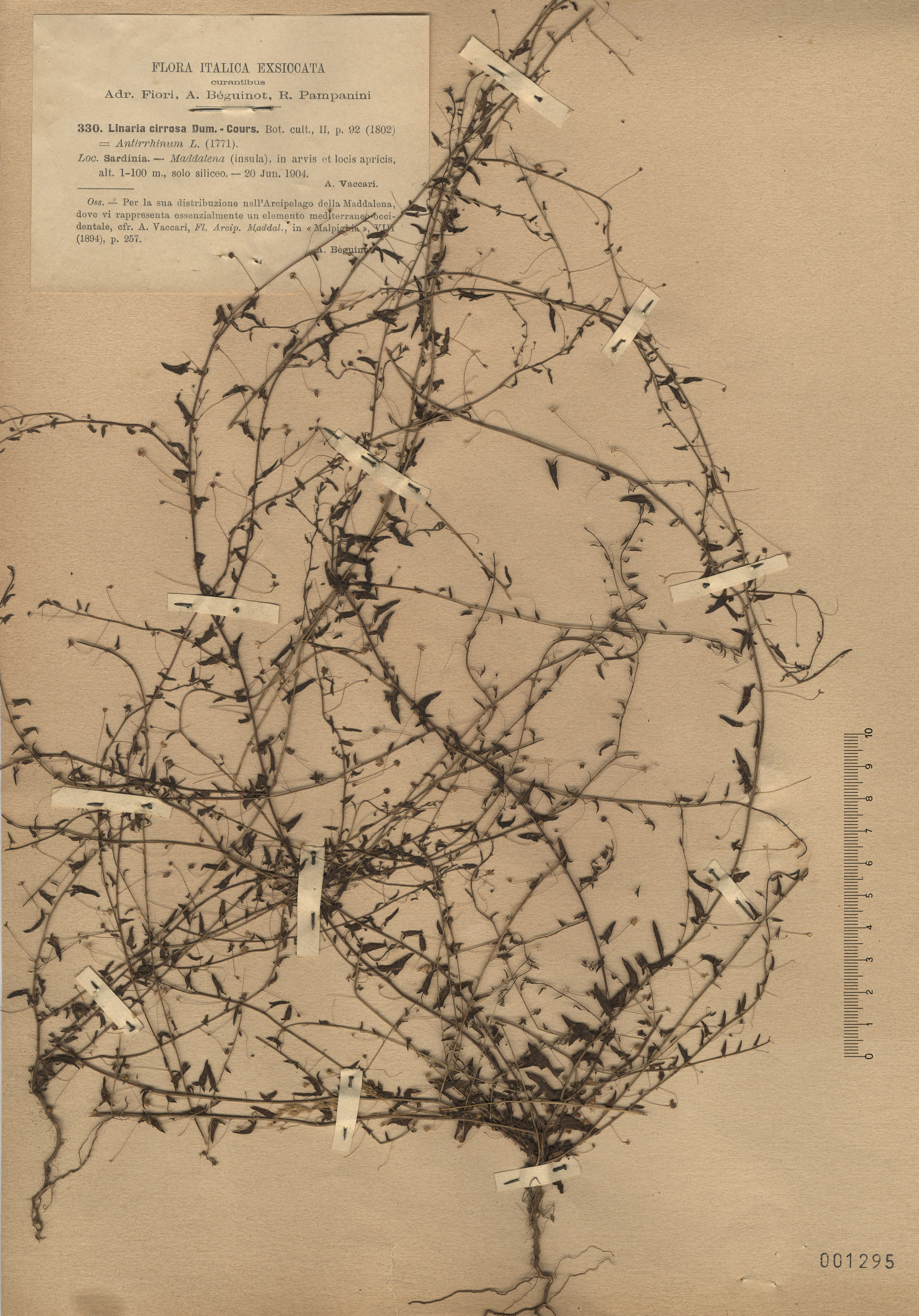 © Hortus Botanicus Catinensis - Herb. sheet 001295<br>