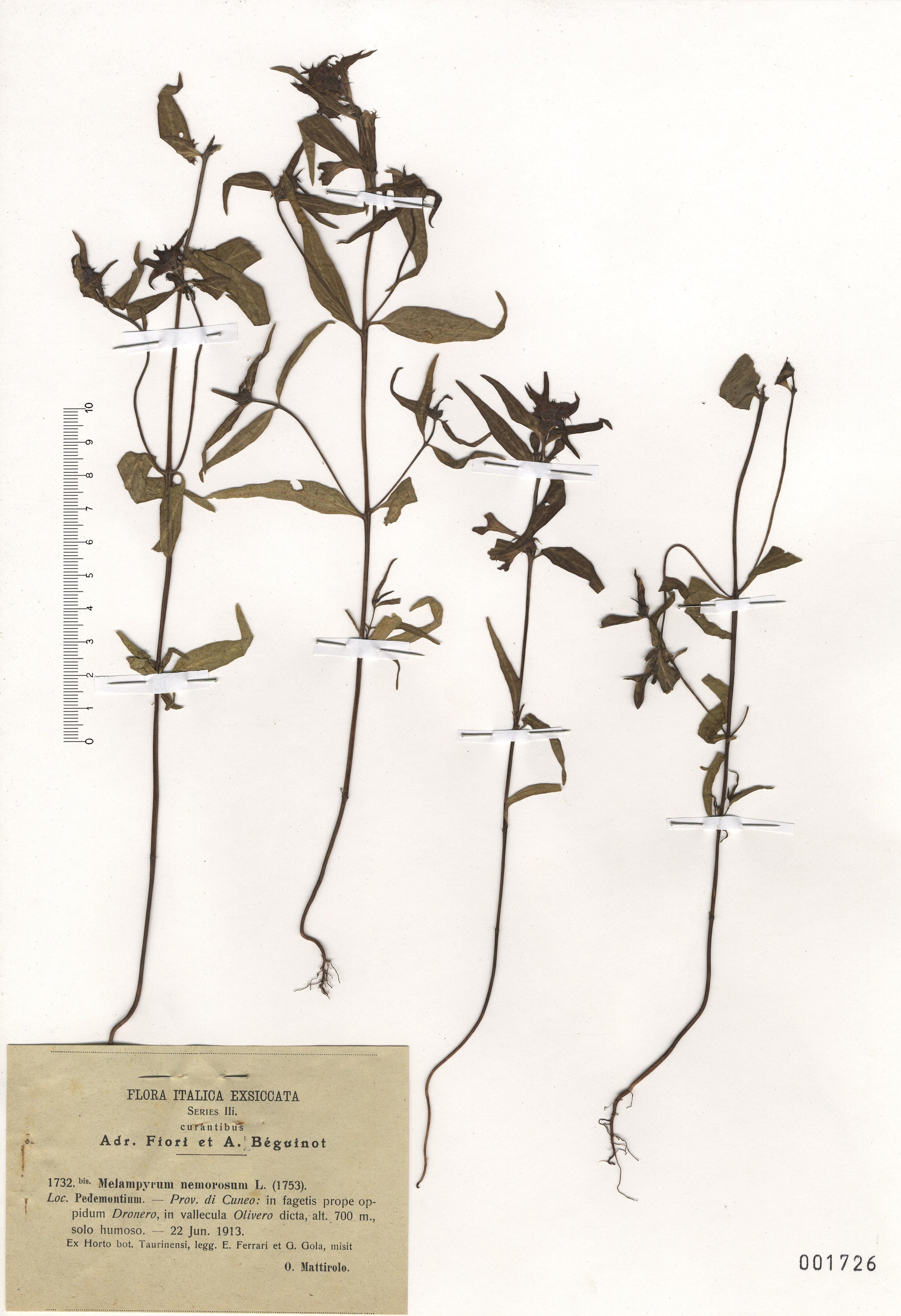 © Hortus Botanicus Catinensis - Herb. sheet 001726<br>