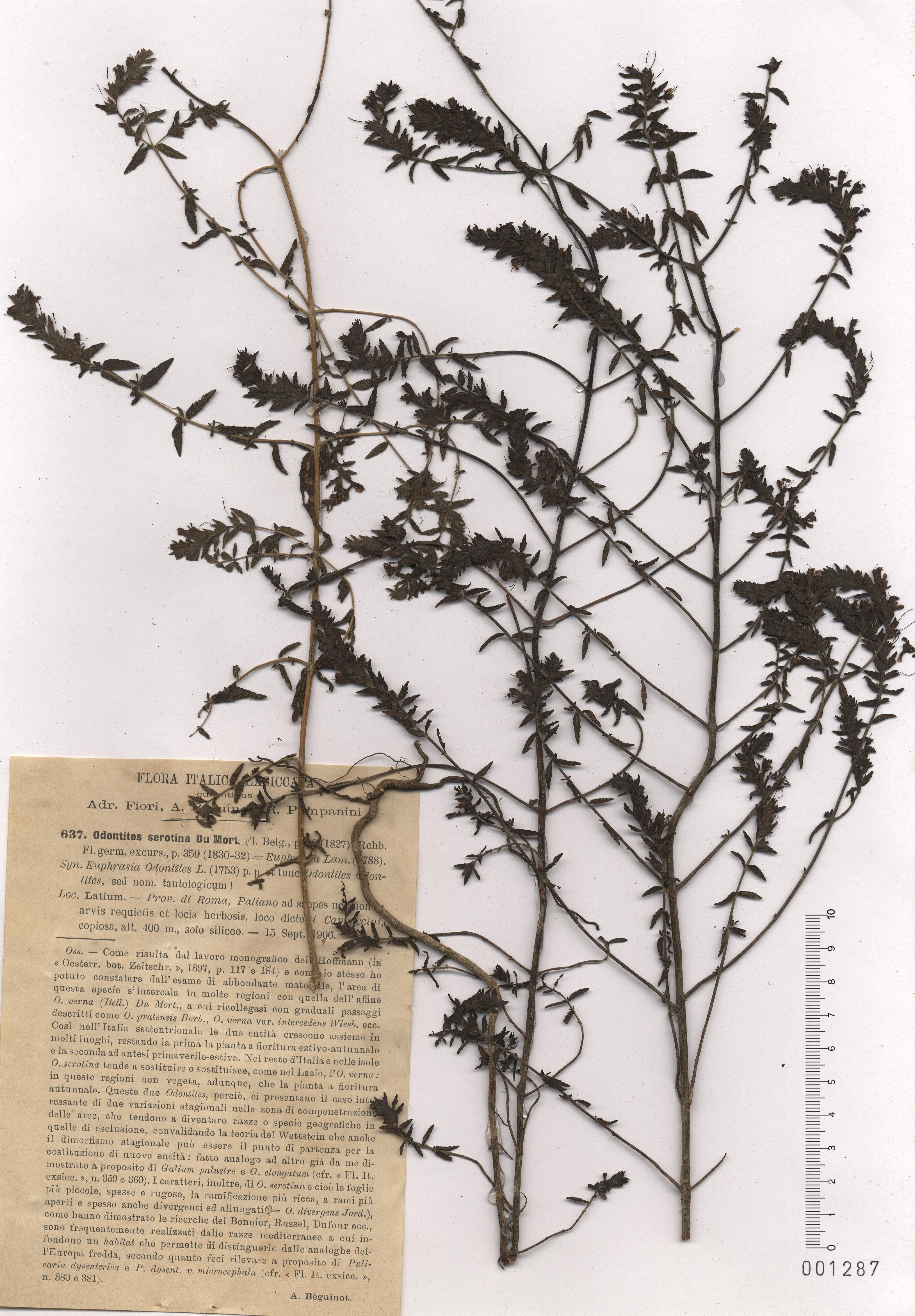 © Hortus Botanicus Catinensis - Herb. sheet 001287<br>