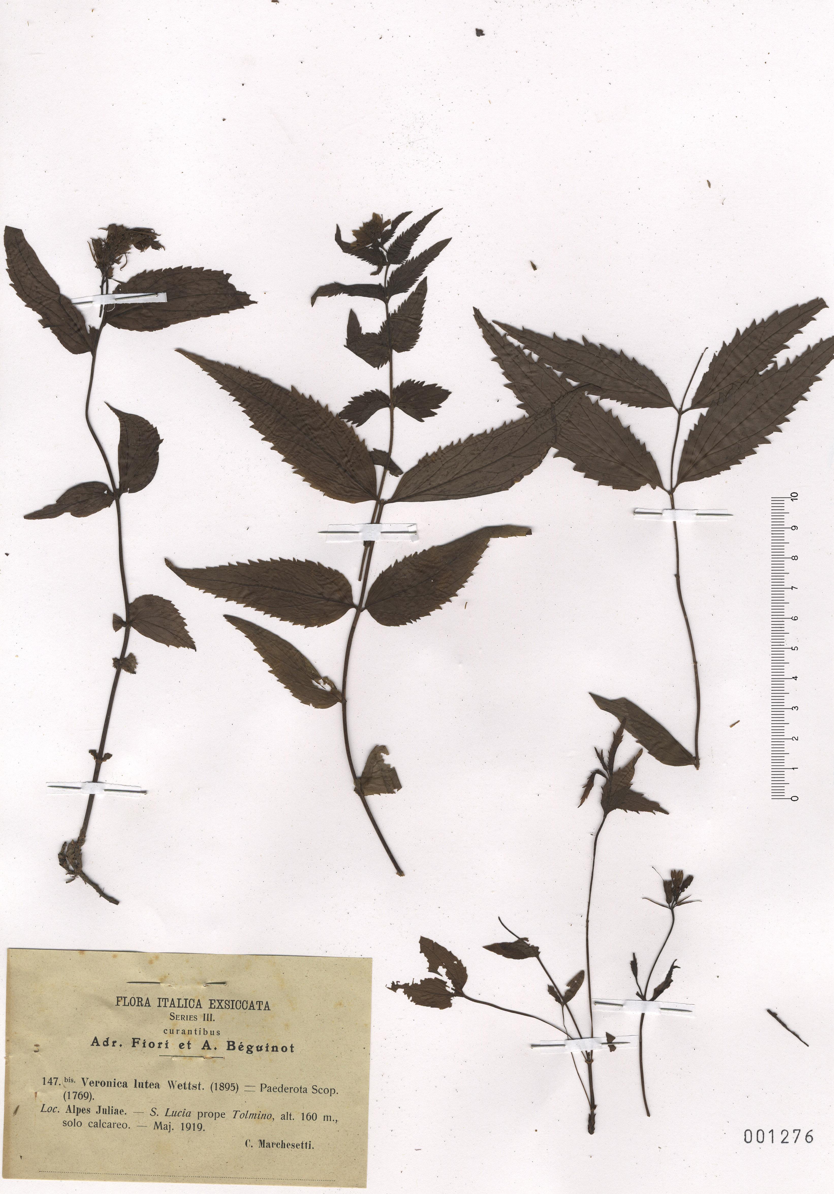 © Hortus Botanicus Catinensis - Herb. sheet 001276<br>