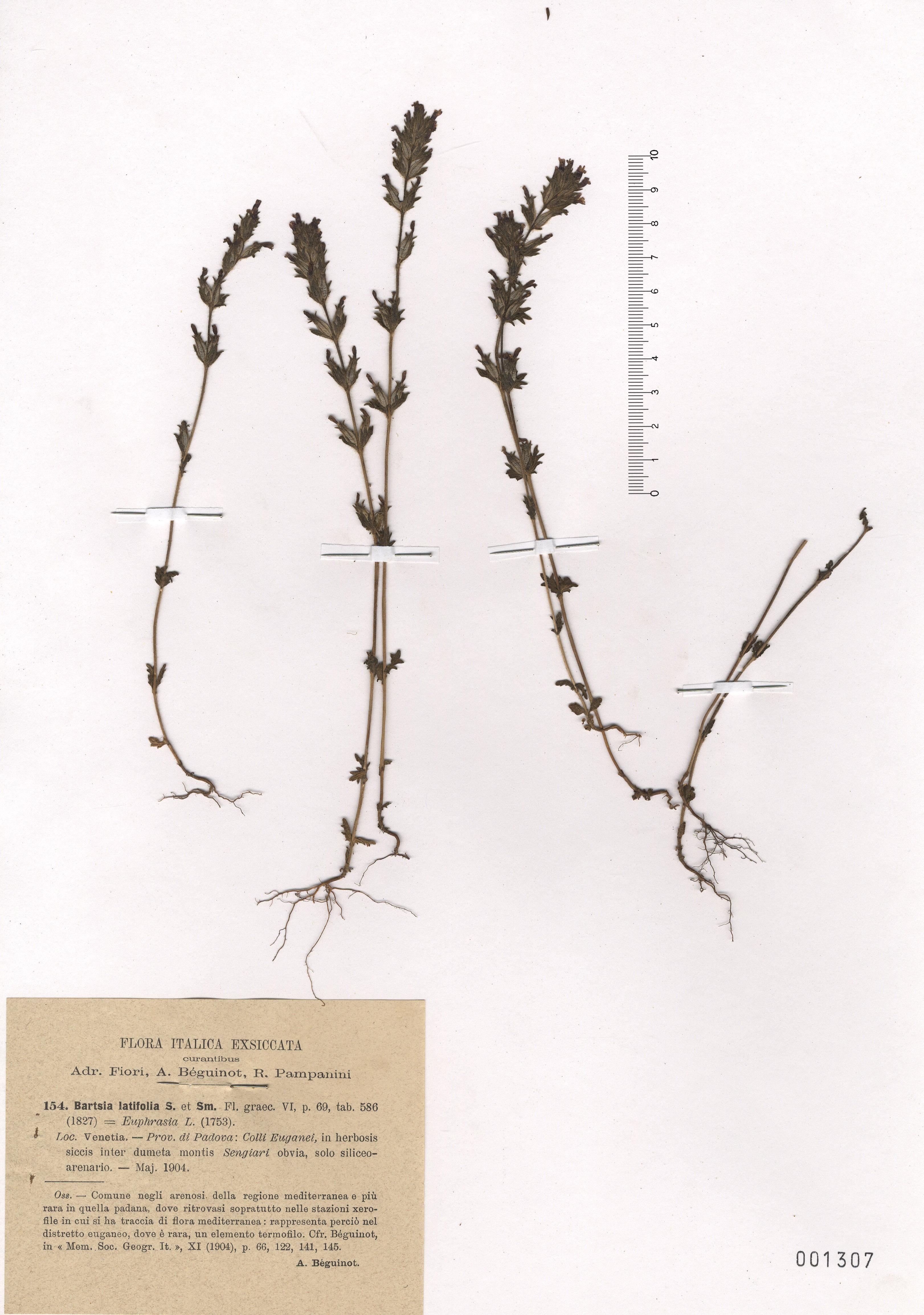 © Hortus Botanicus Catinensis - Herb. sheet 001307<br>