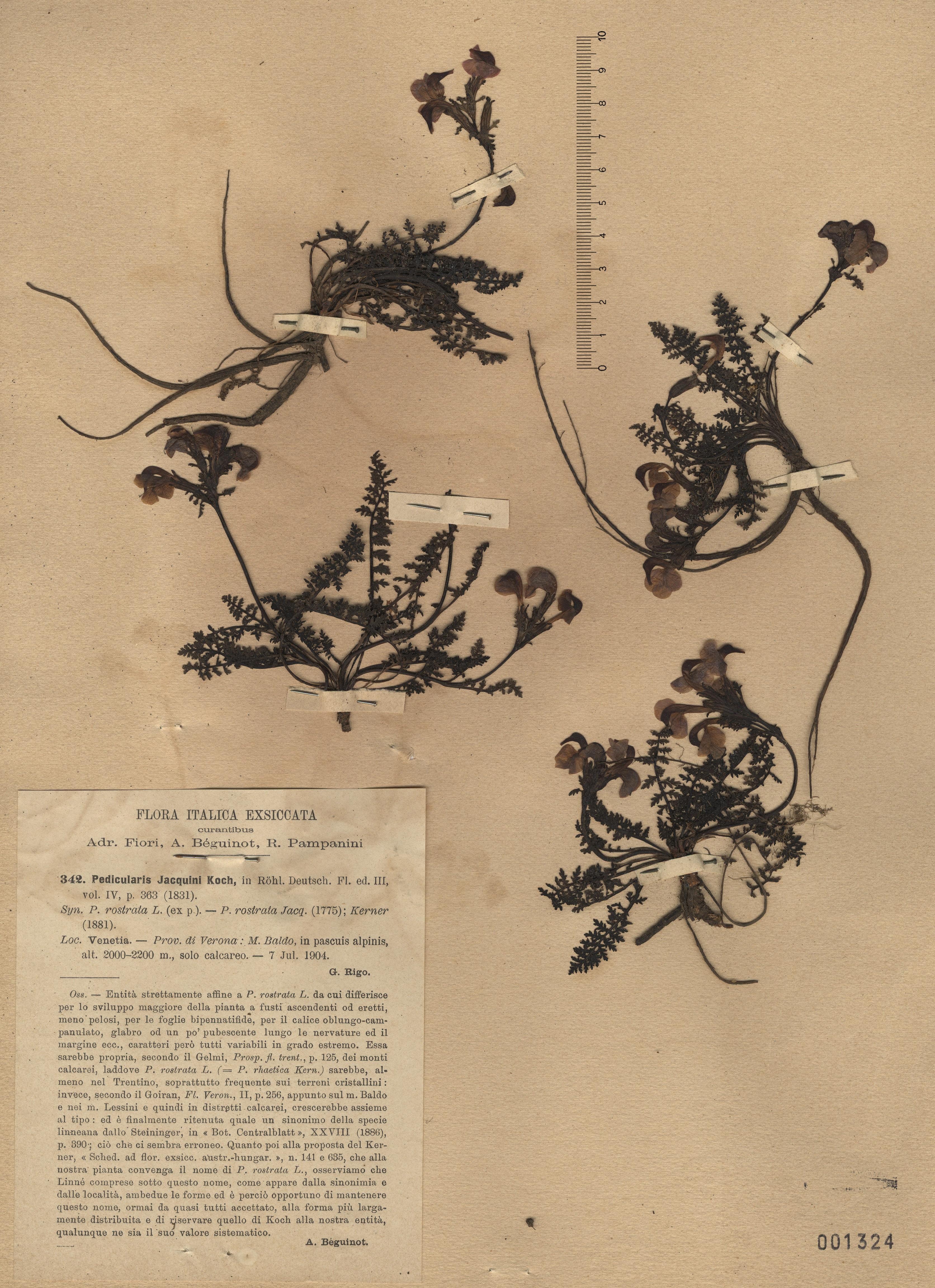 © Hortus Botanicus Catinensis - Herb. sheet 001324<br>