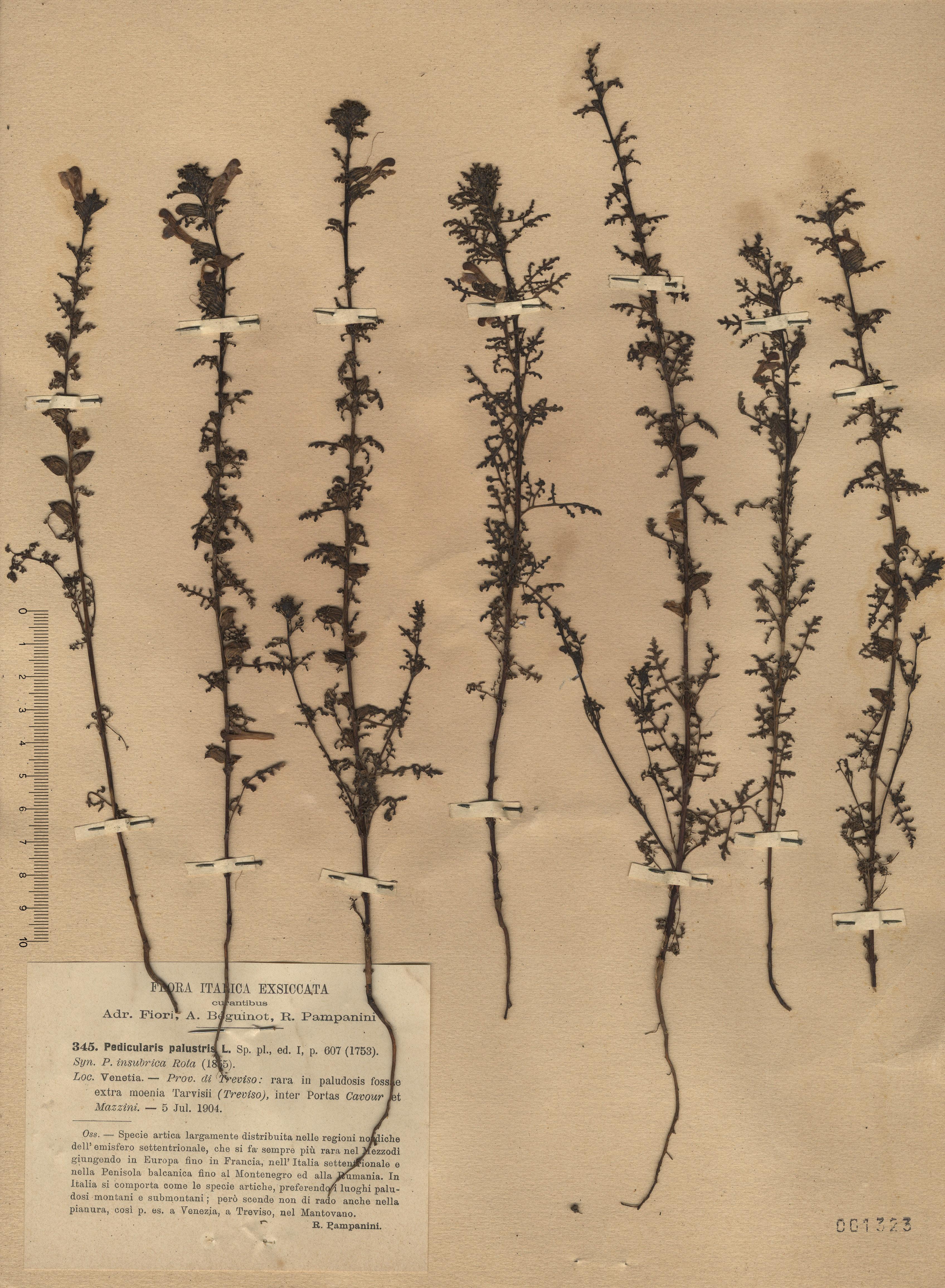 © Hortus Botanicus Catinensis - Herb. sheet 001323<br>