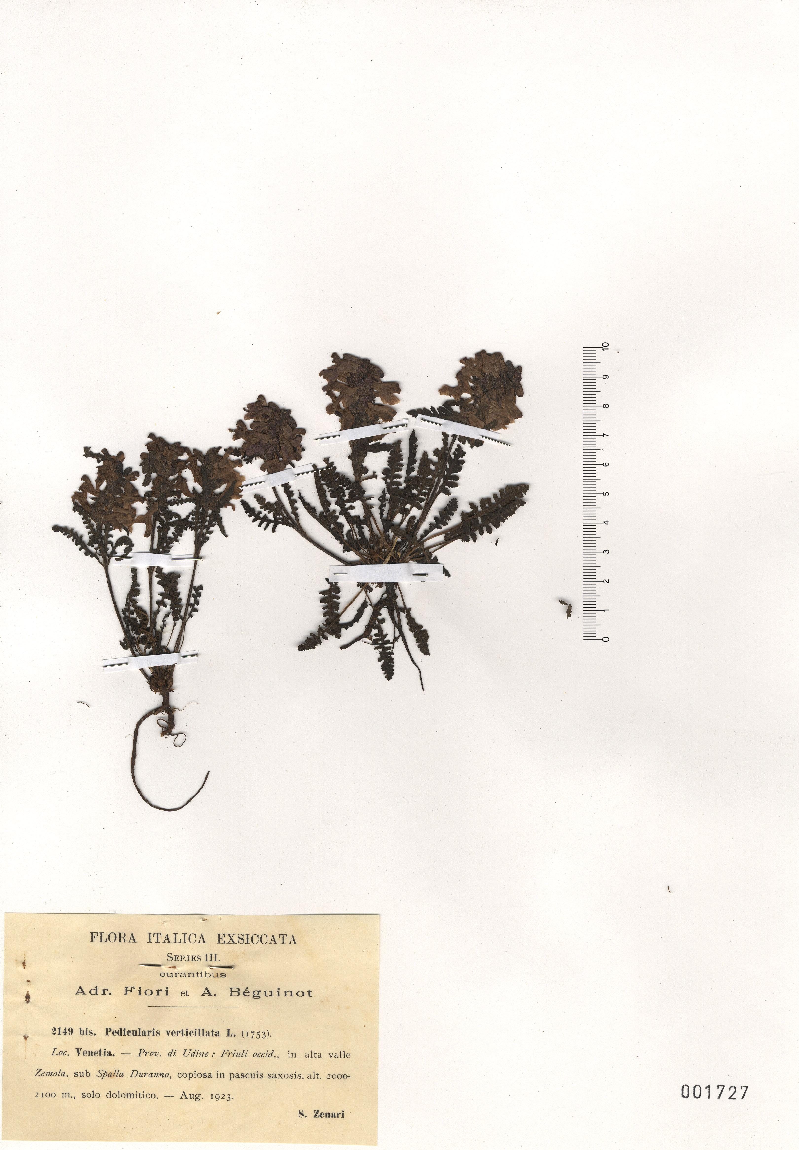 © Hortus Botanicus Catinensis - Herb. sheet 001727<br>