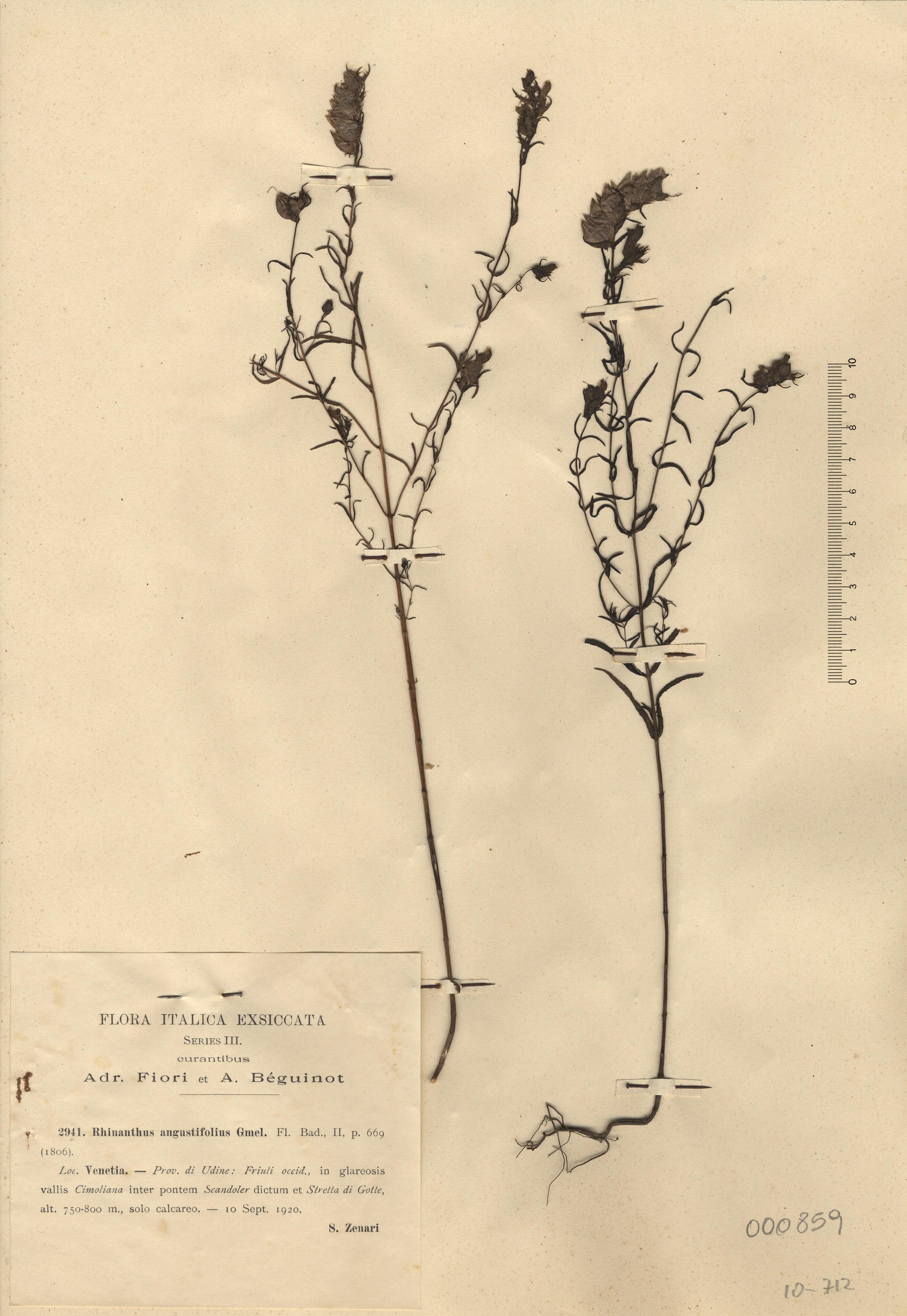 © Hortus Botanicus Catinensis - Herb. sheet 000859<br>