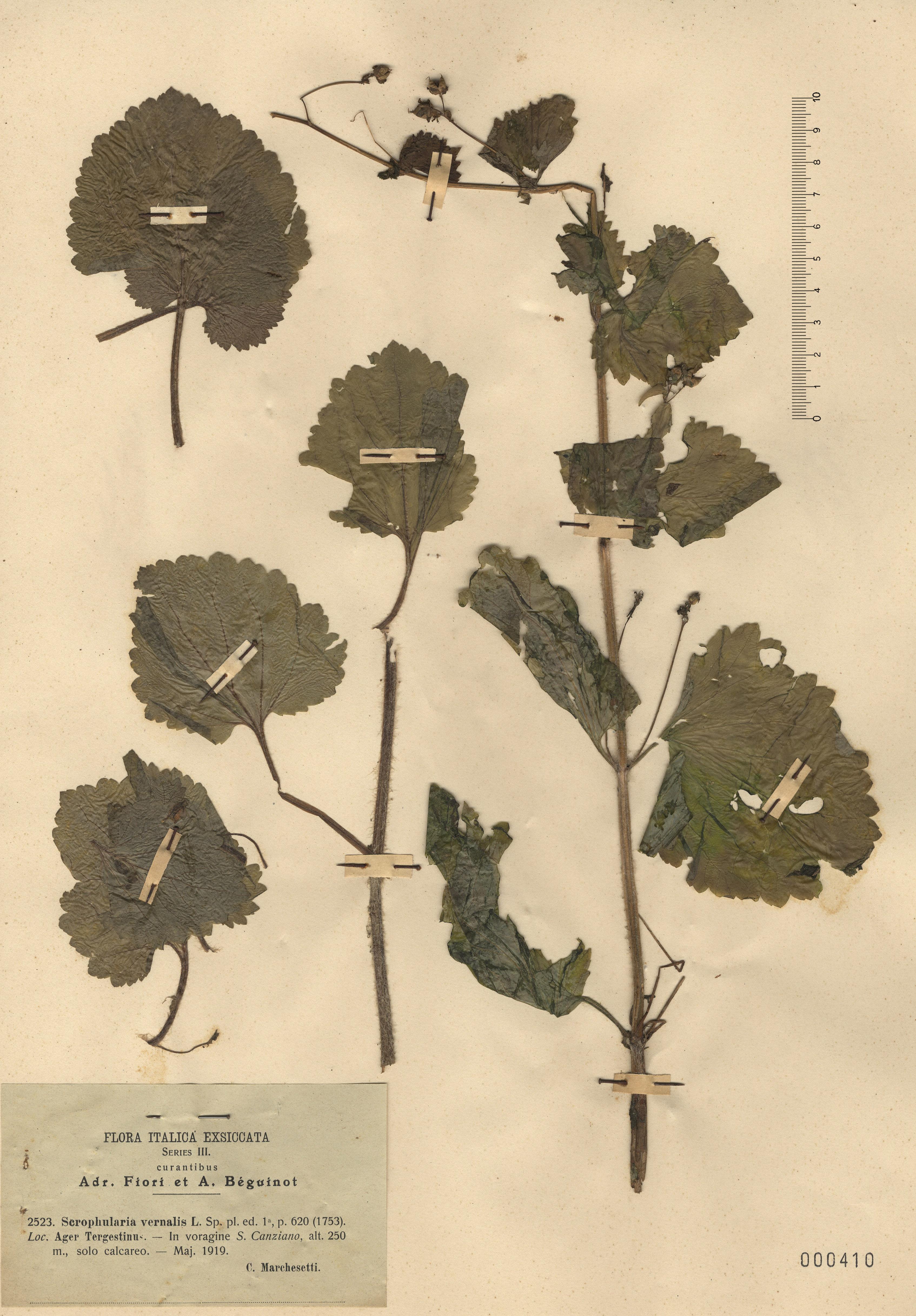 © Hortus Botanicus Catinensis - Herb. sheet 000410<br>