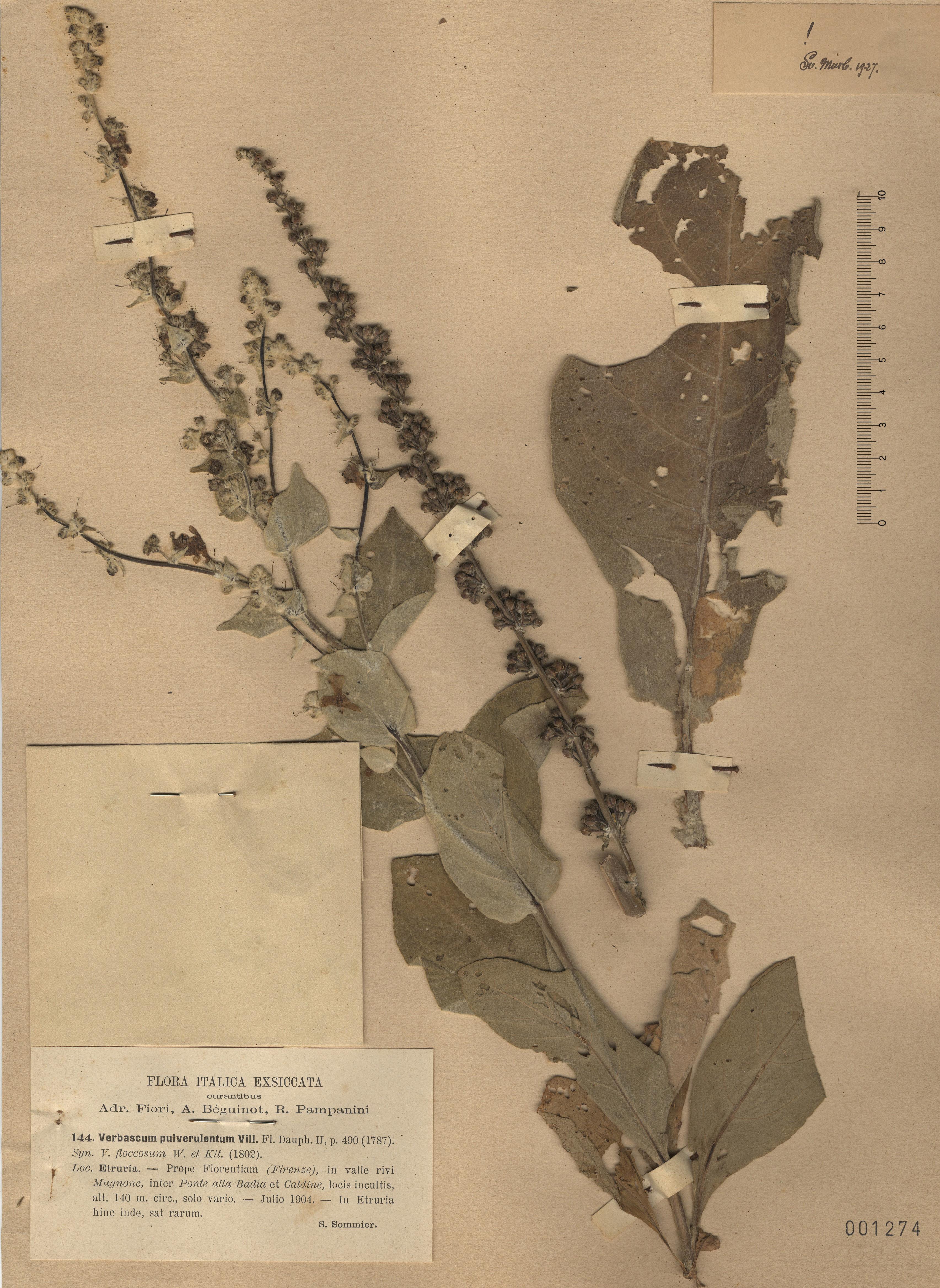 © Hortus Botanicus Catinensis - Herb. sheet 001274<br>