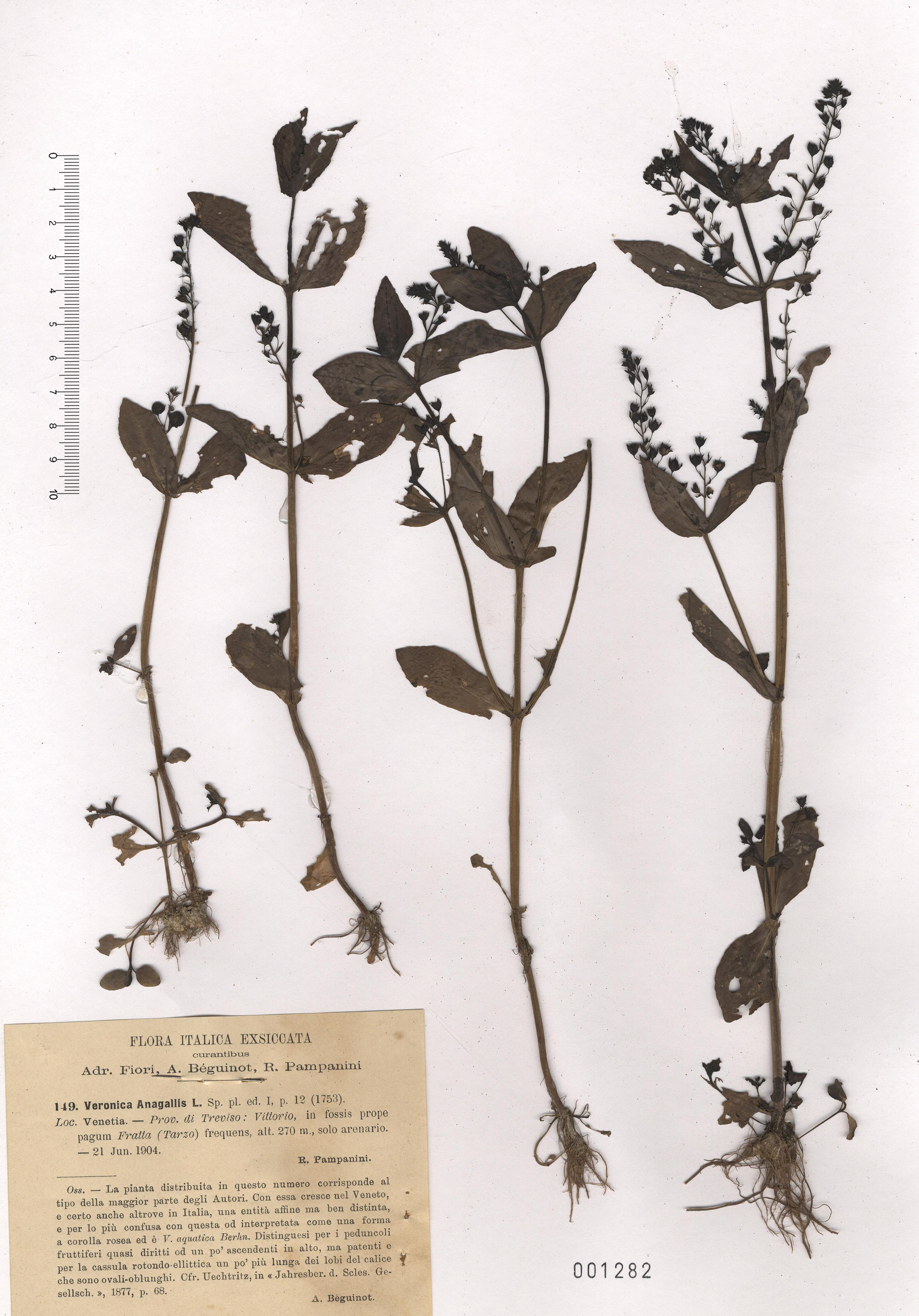 © Hortus Botanicus Catinensis - Herb. sheet 001282<br>