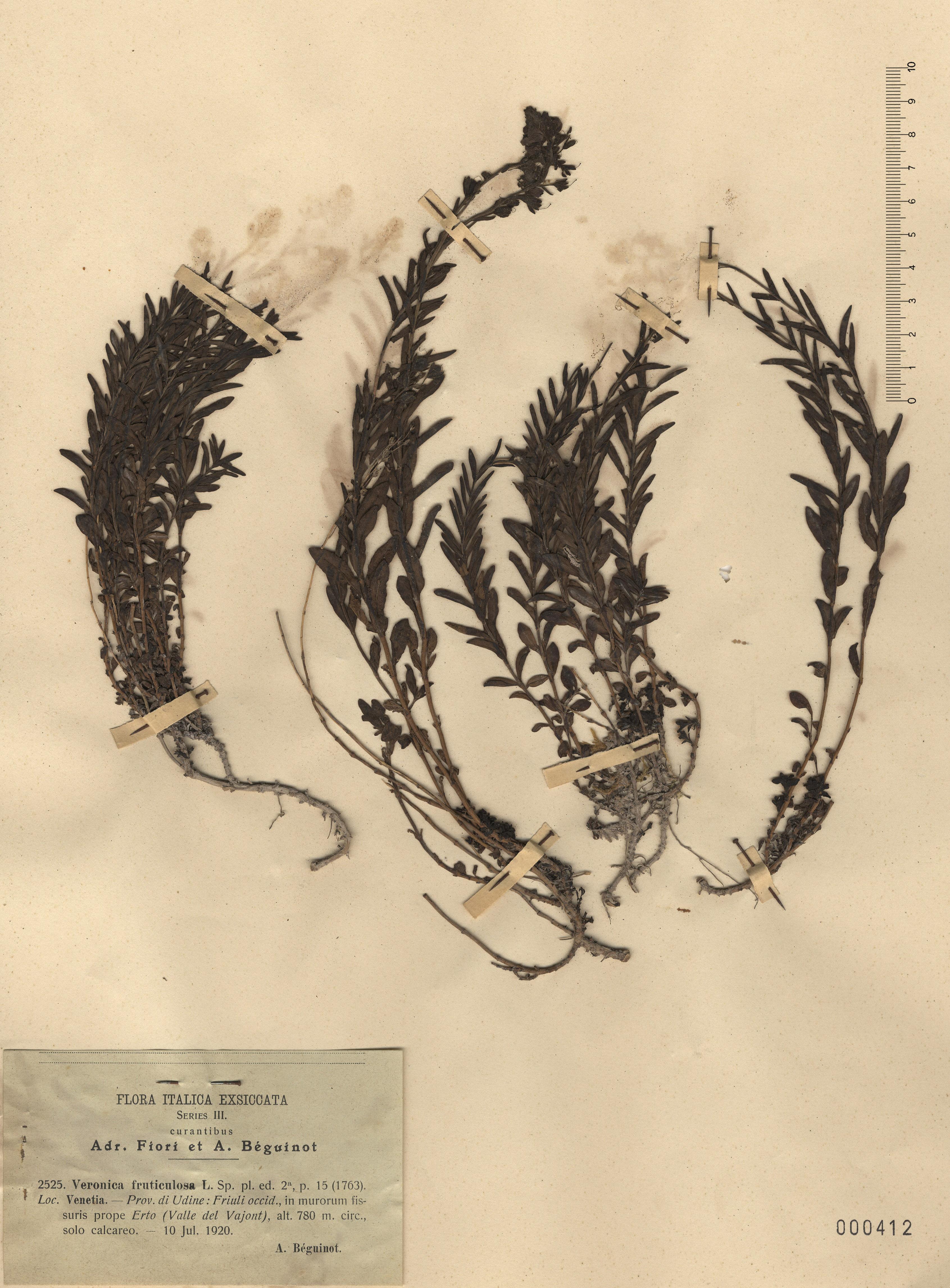 © Hortus Botanicus Catinensis - Herb. sheet 000412<br>