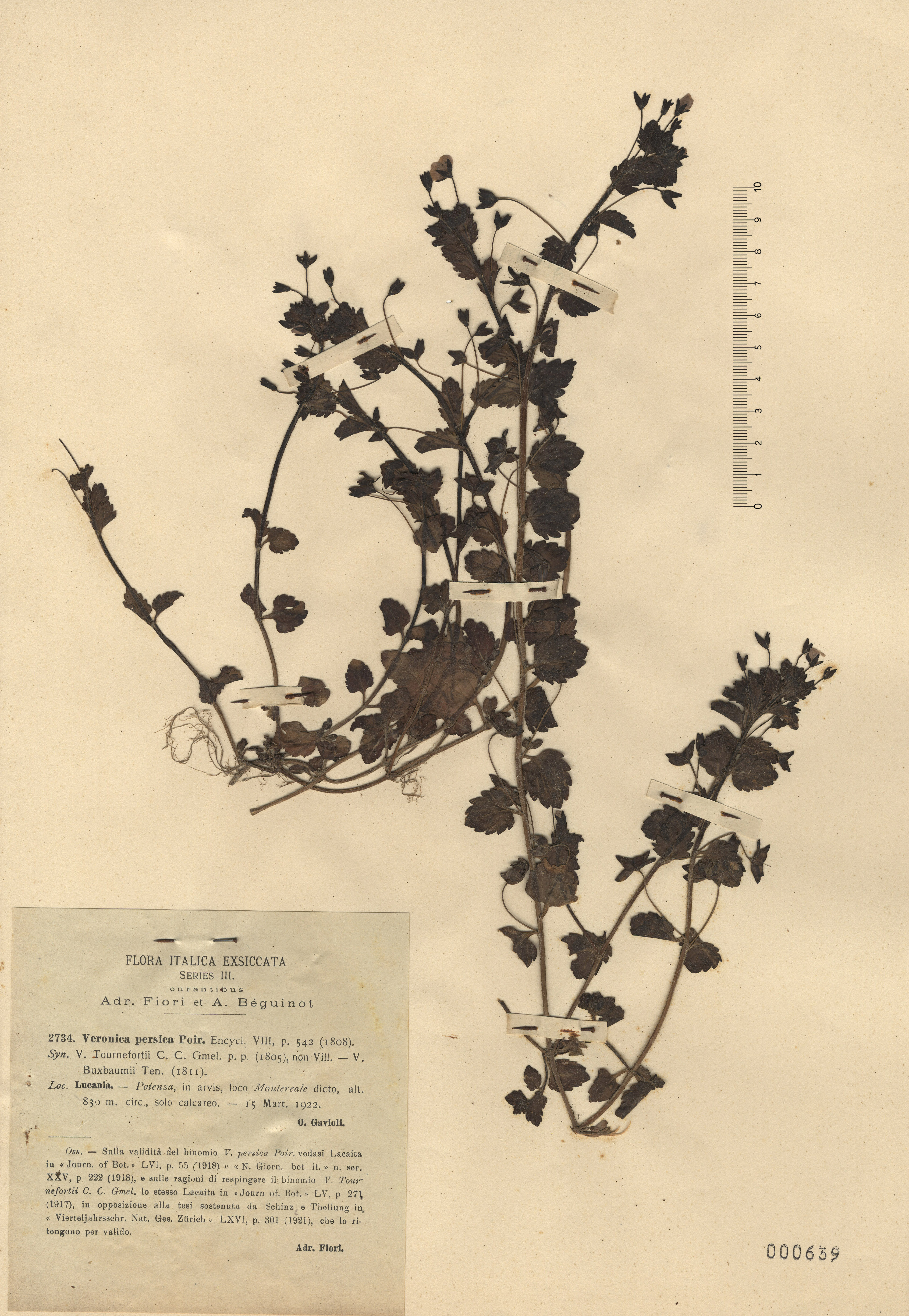 © Hortus Botanicus Catinensis - Herb. sheet 000639<br>