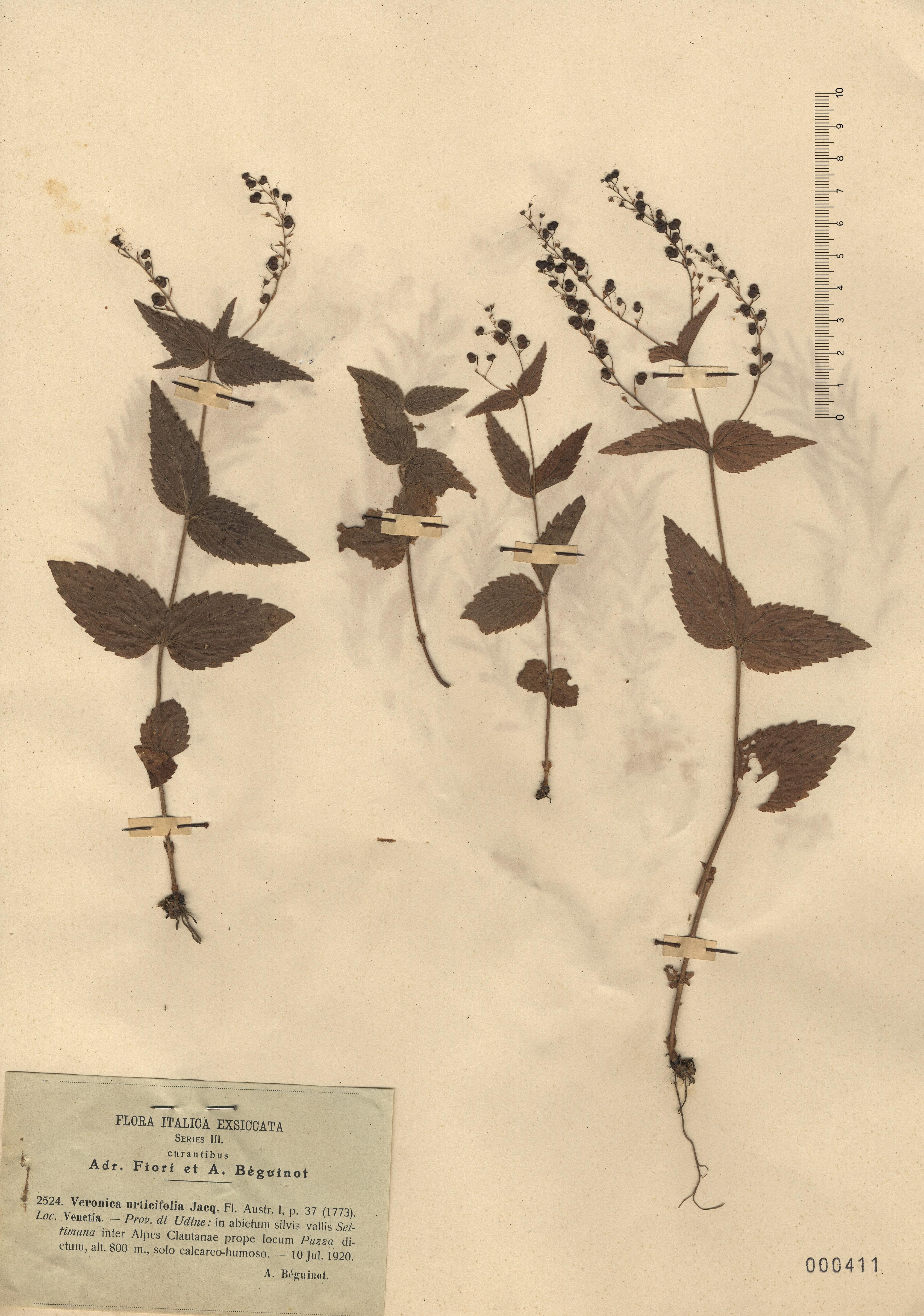 © Hortus Botanicus Catinensis - Herb. sheet 000411<br>