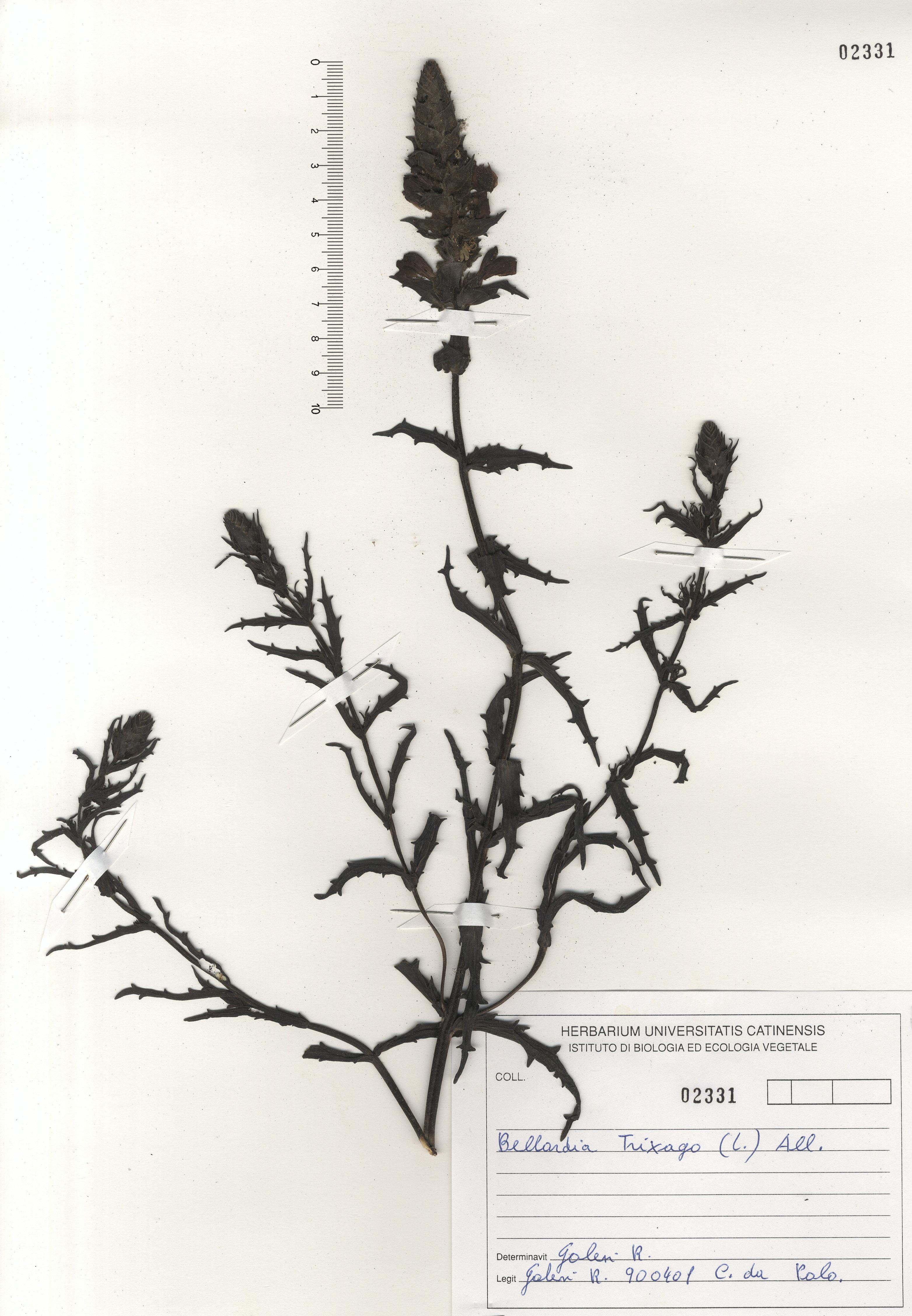 © Hortus Botanicus Catinensis - Herb. sheet 102331<br>