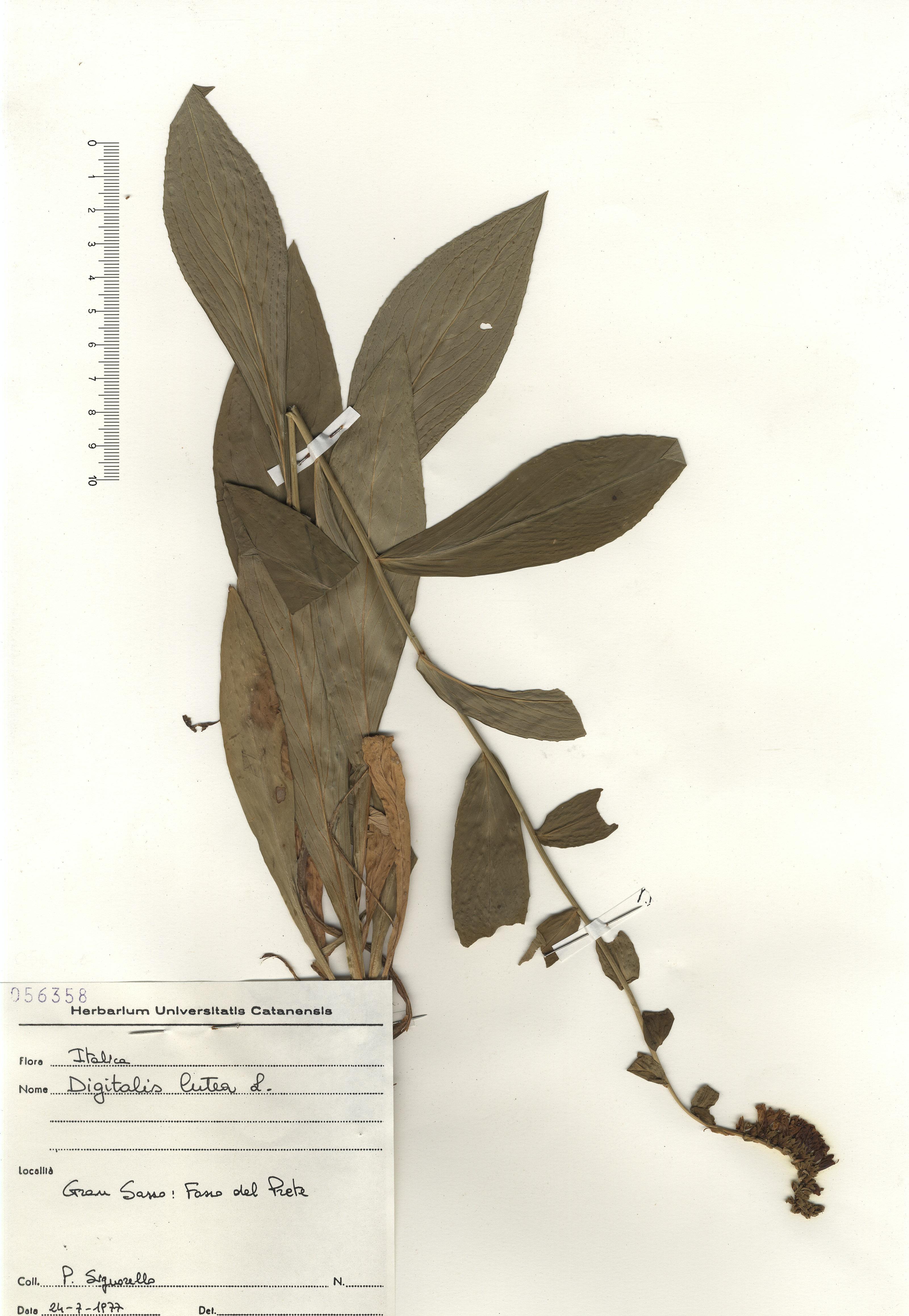 © Hortus Botanicus Catinensis - Herb. sheet 056358<br>