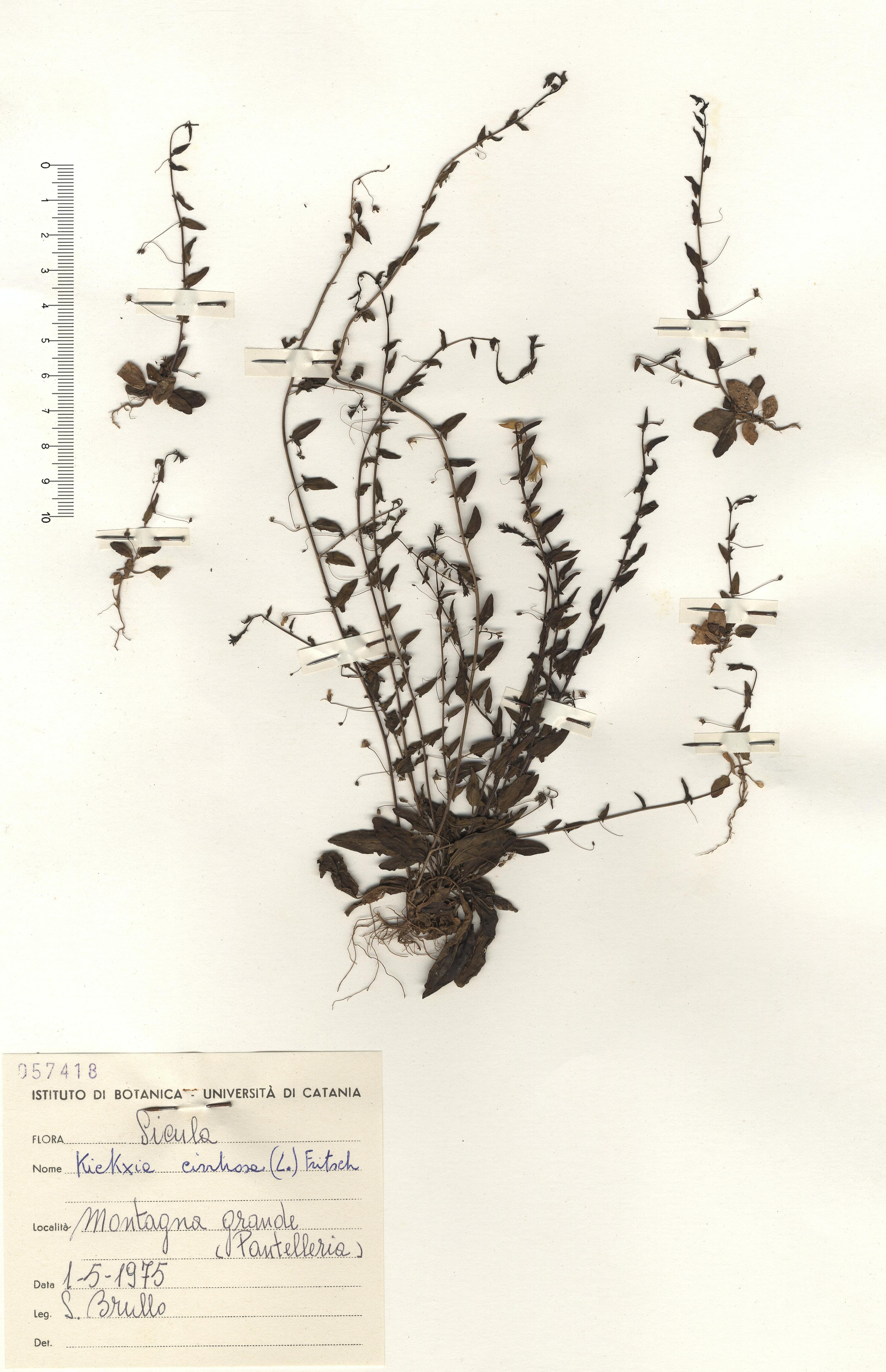 © Hortus Botanicus Catinensis - Herb. sheet 057418<br>