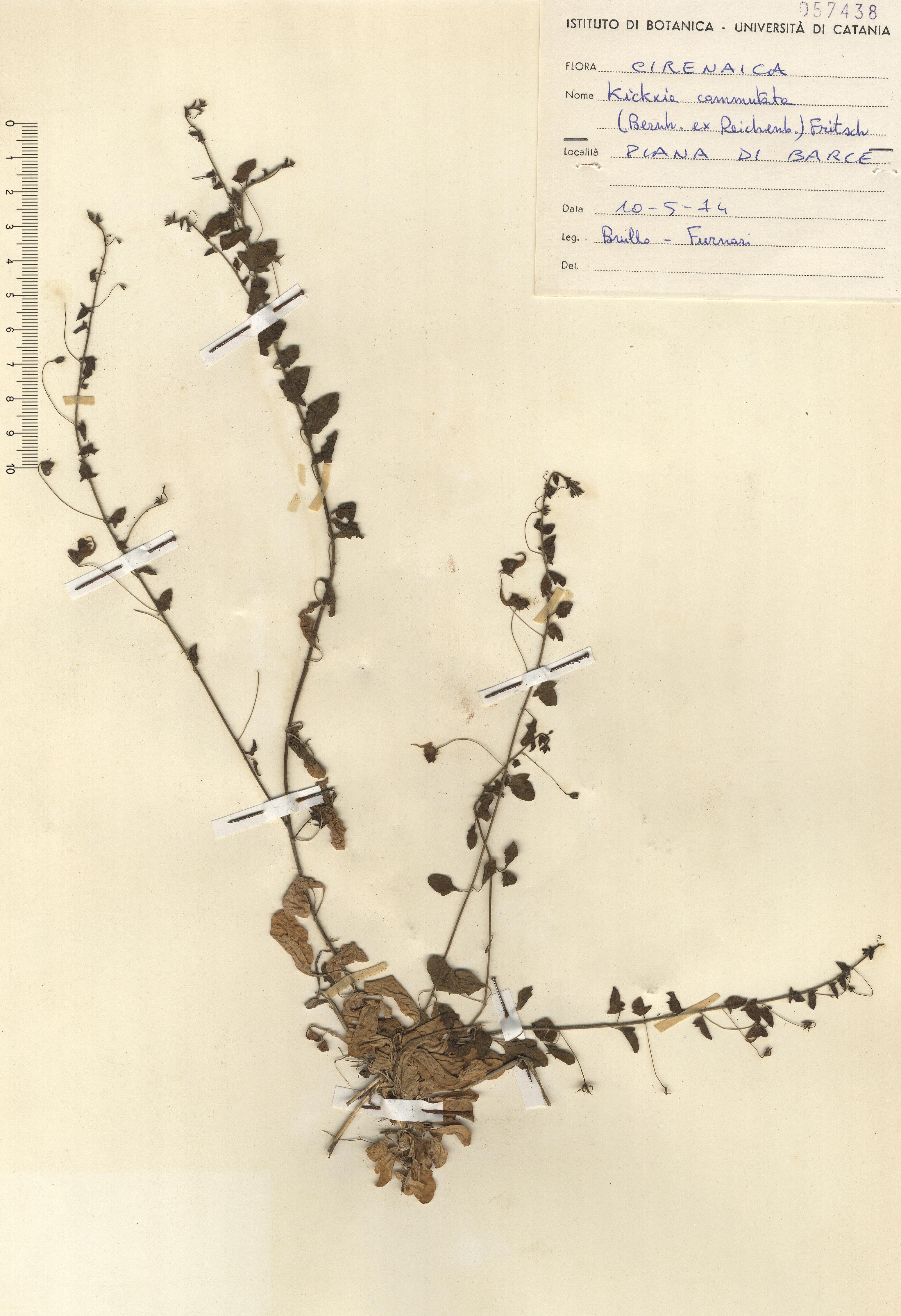 © Hortus Botanicus Catinensis - Herb. sheet 057438<br>