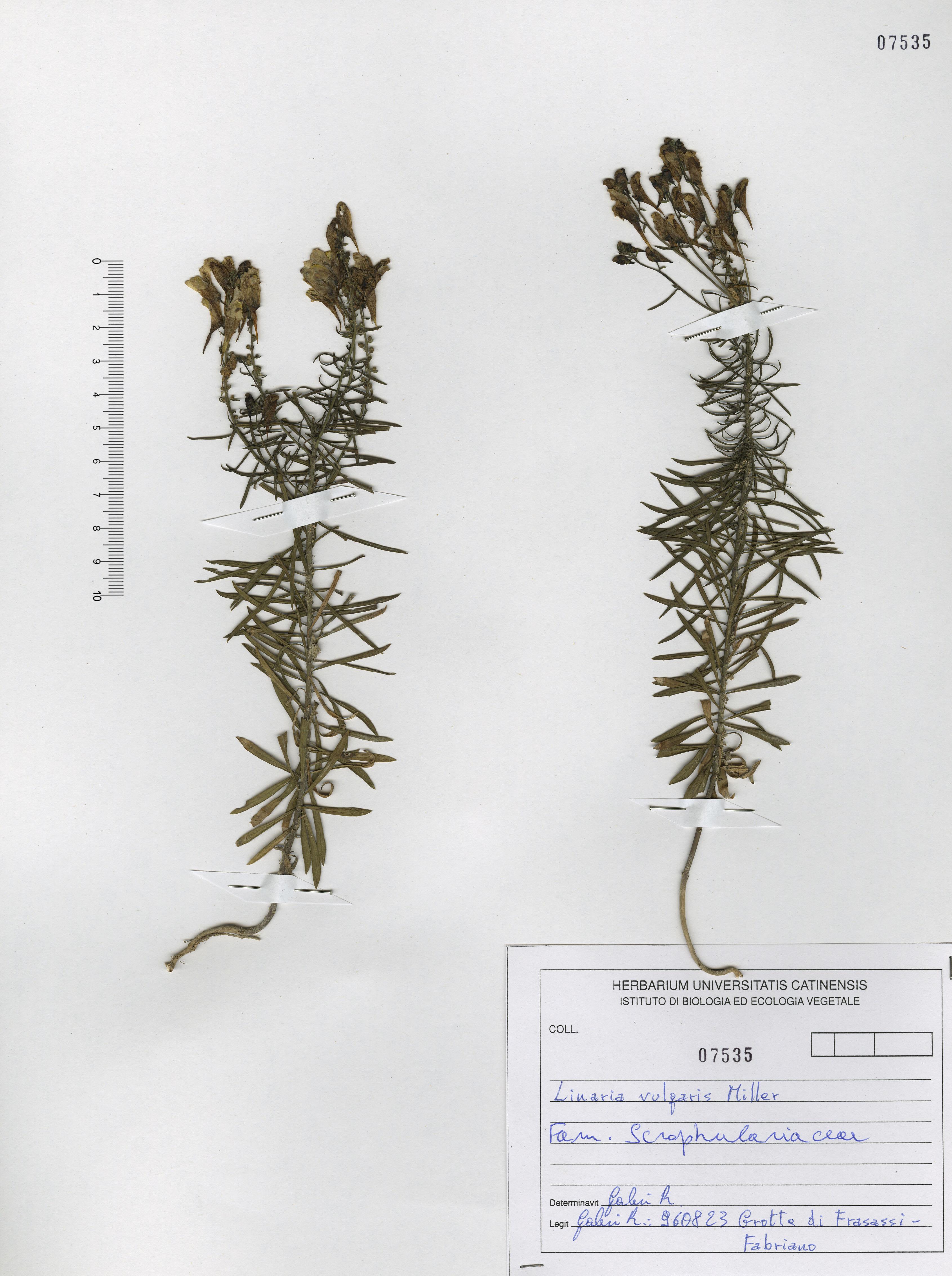 © Hortus  Botanicus Catinensis - Herb. sheet 107535<br>