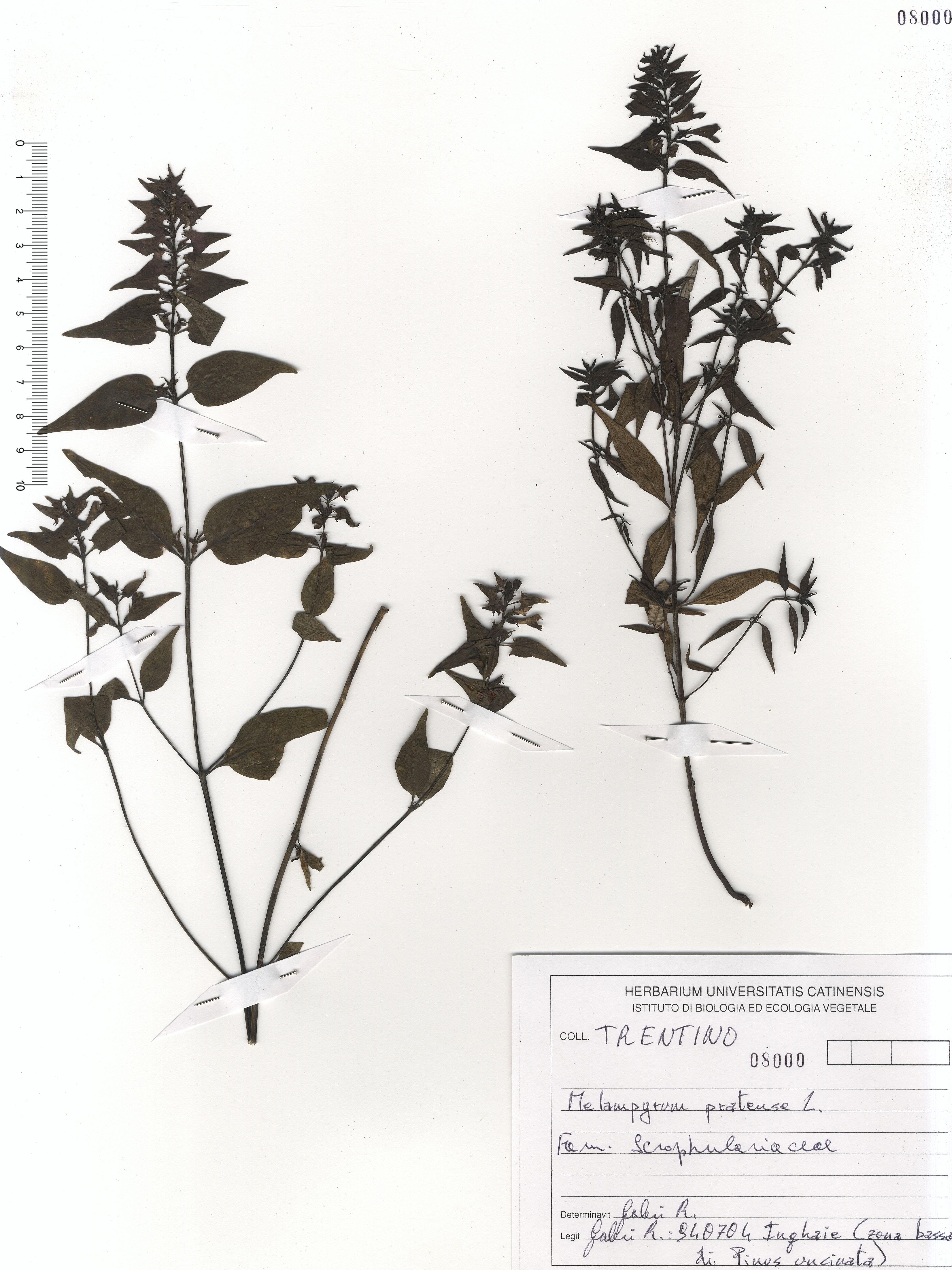 © Hortus  Botanicus Catinensis - Herb. sheet 108000<br>