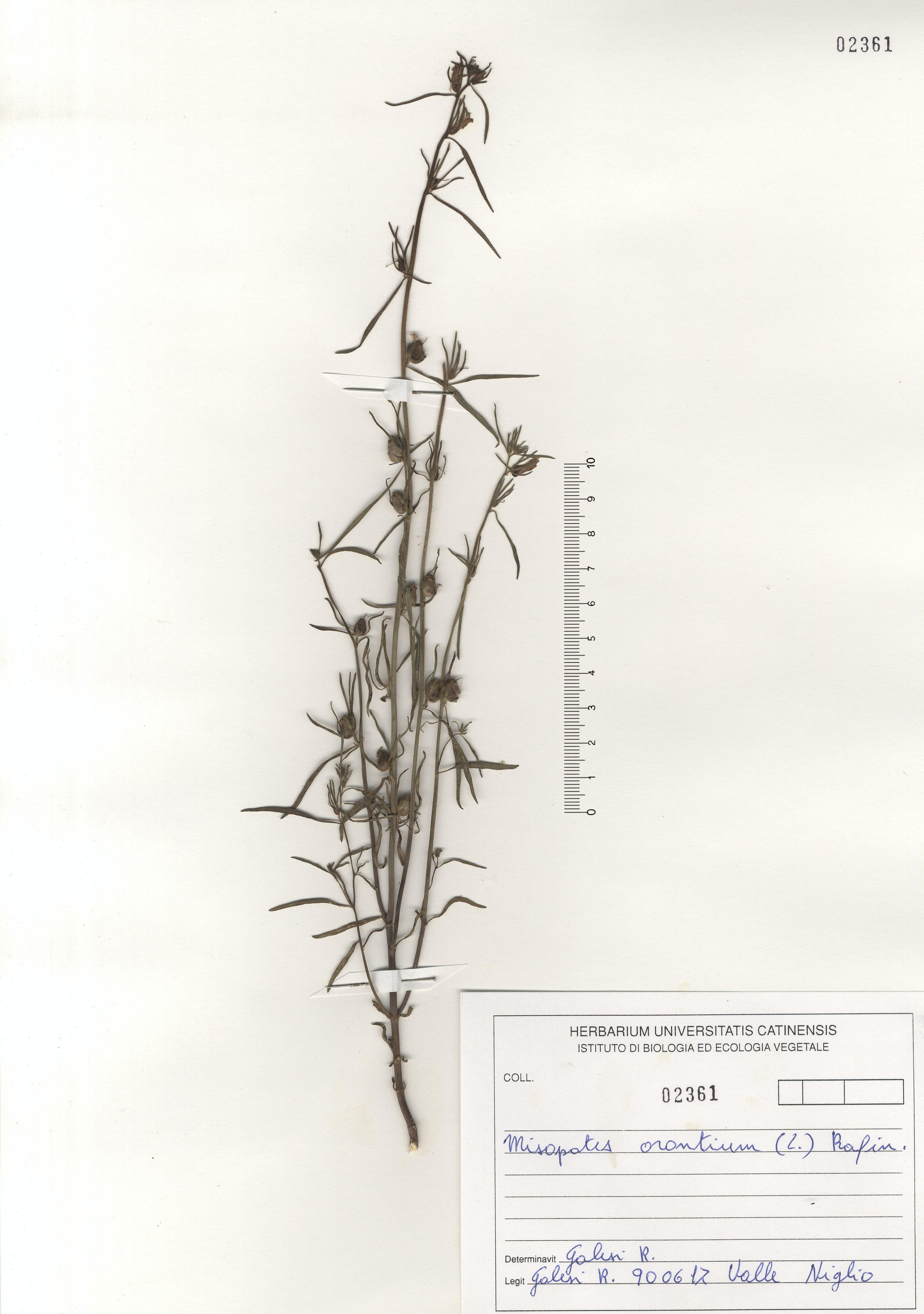 © Hortus  Botanicus Catinensis - Herb. sheet 102361<br>